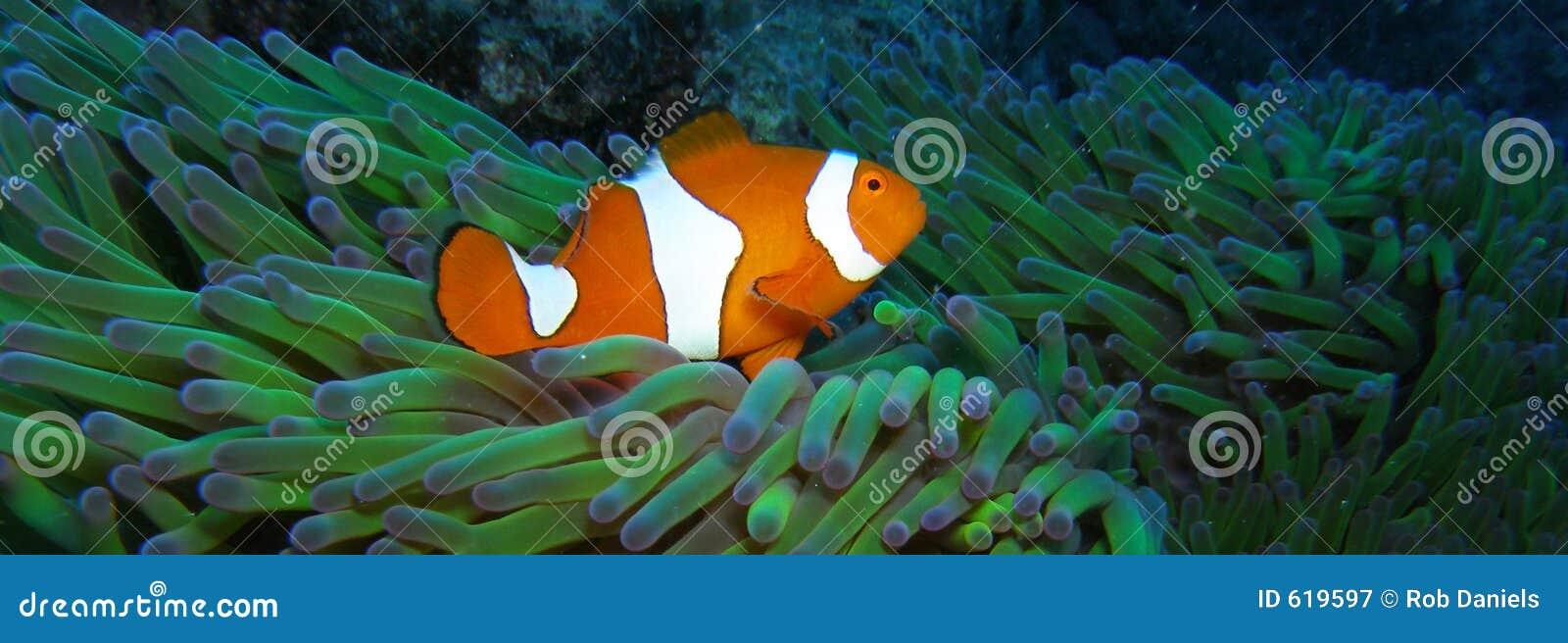 Ware Clown Anemonefish Nemo