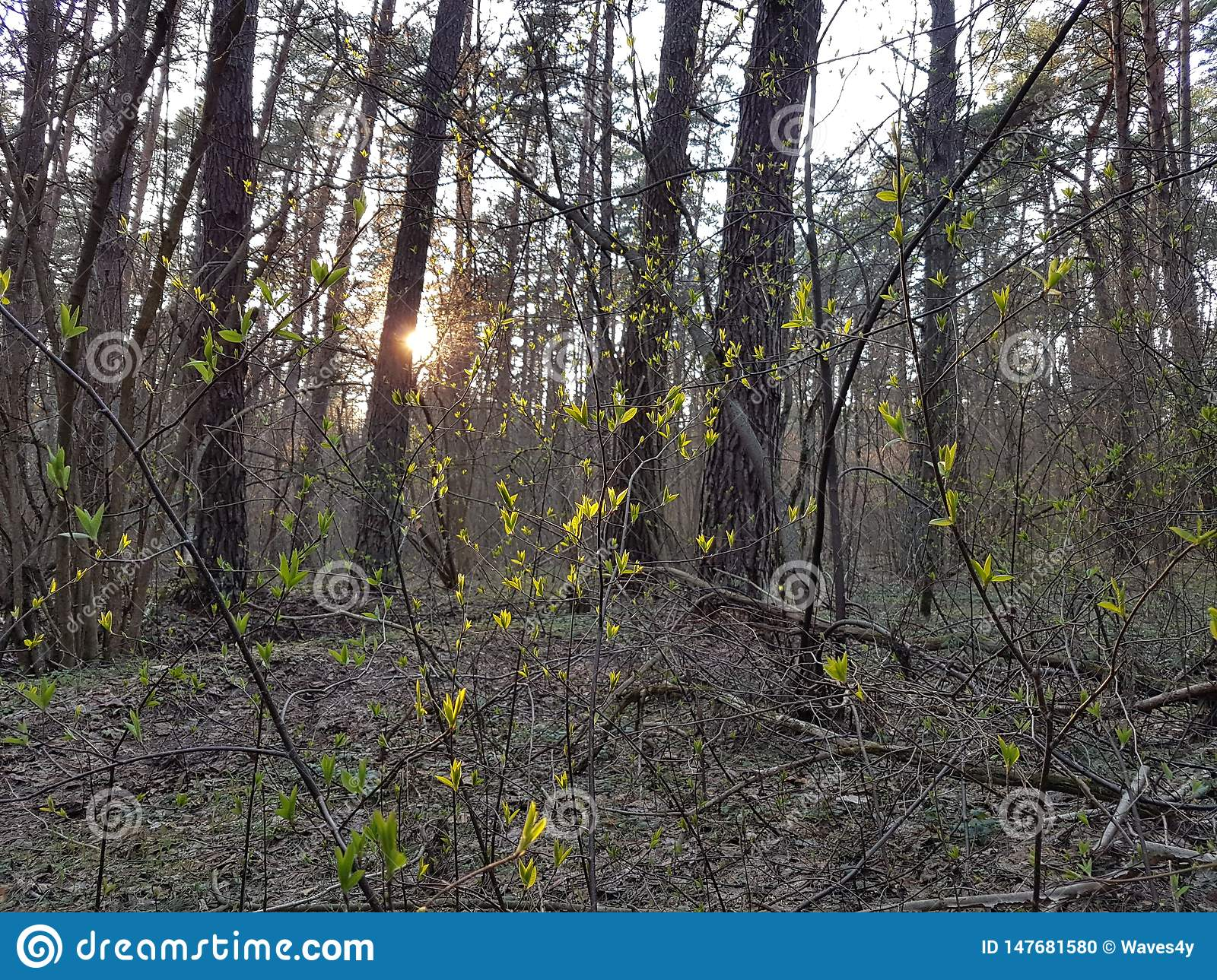 Warm evening, sun shines through branches of the trees and backlights the numerous greenish new leaves.