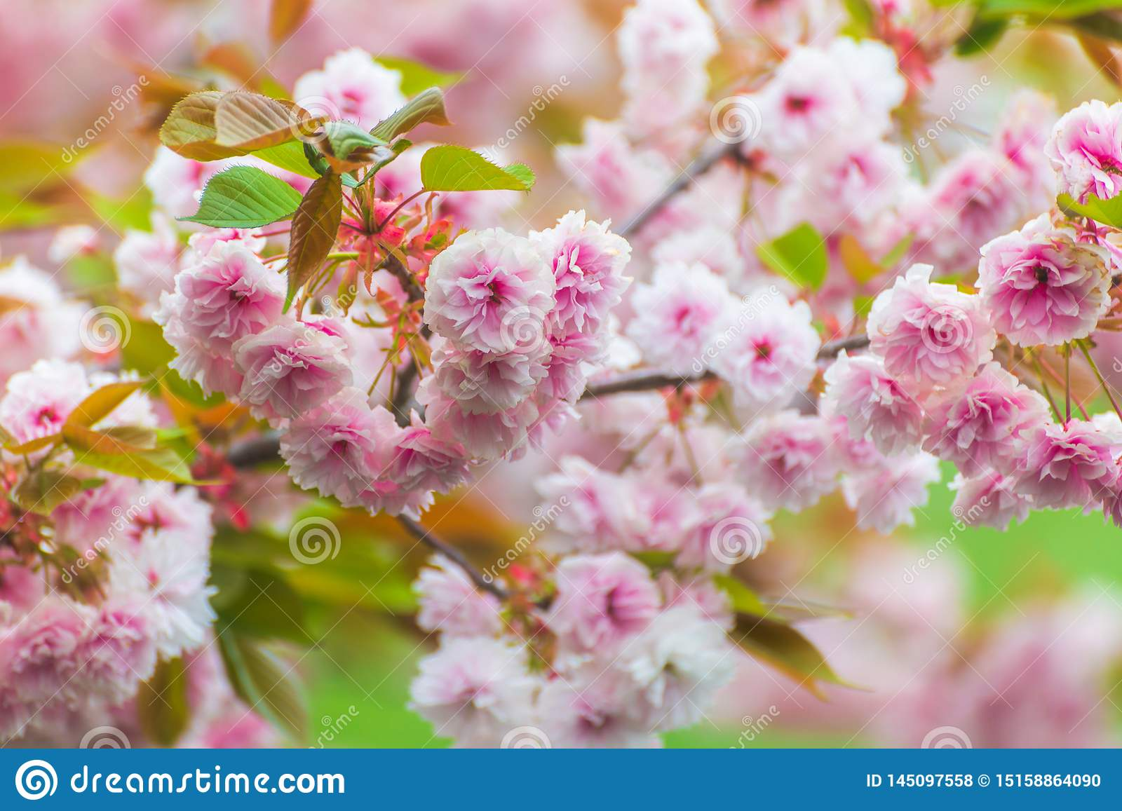 Warmly blooming pink cherry blossoms