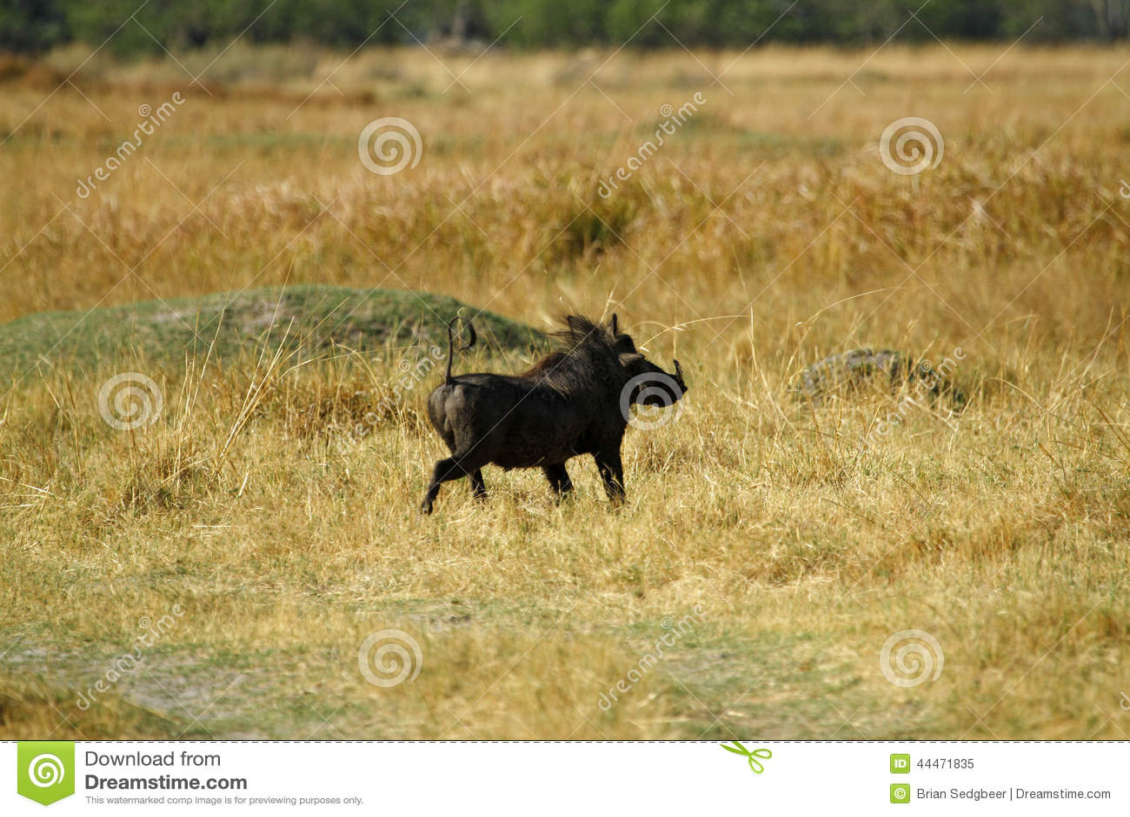 Wart Hog Safari Delight