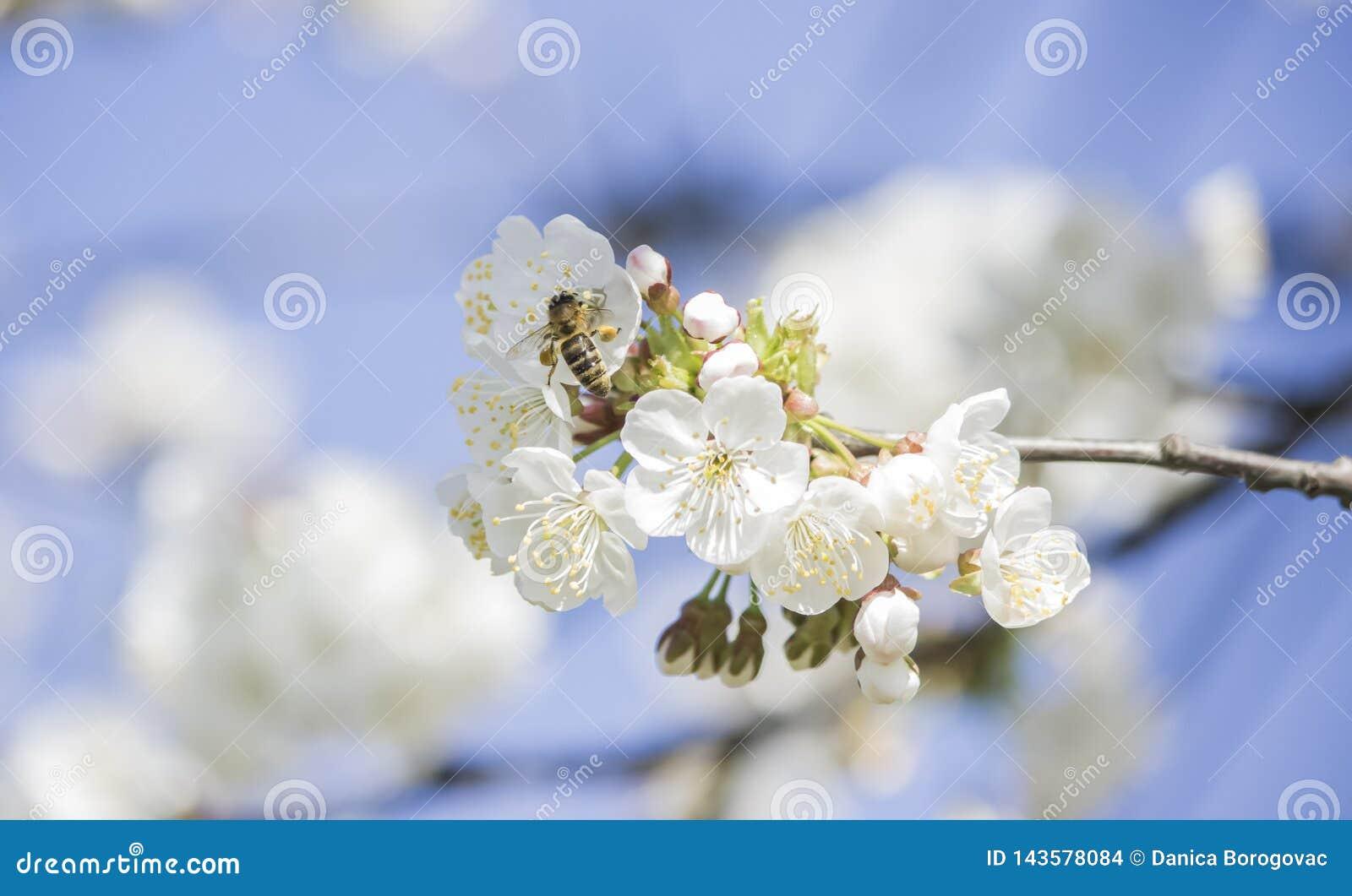Warta pszczoła zbiera pollen