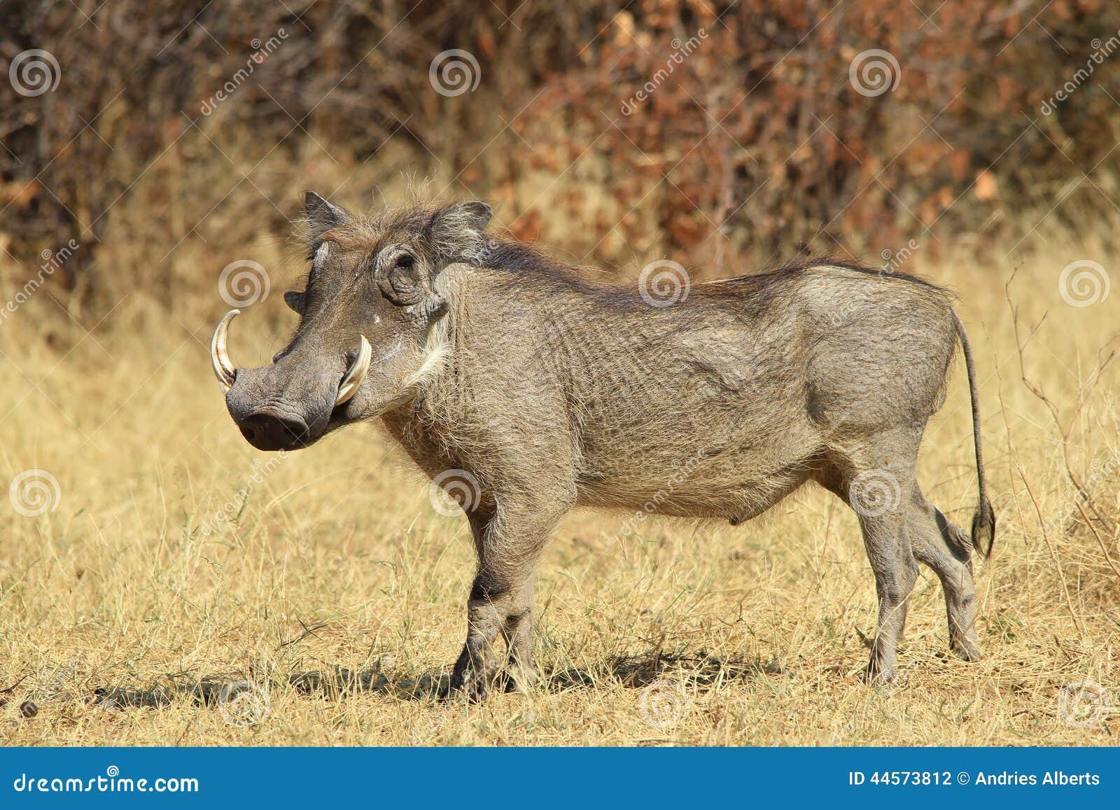 Warthog - африканская предпосылка живой природы - представлять гордость и силу