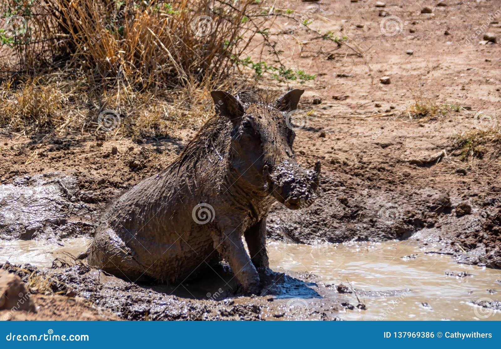Warthog Borowinowy skąpanie