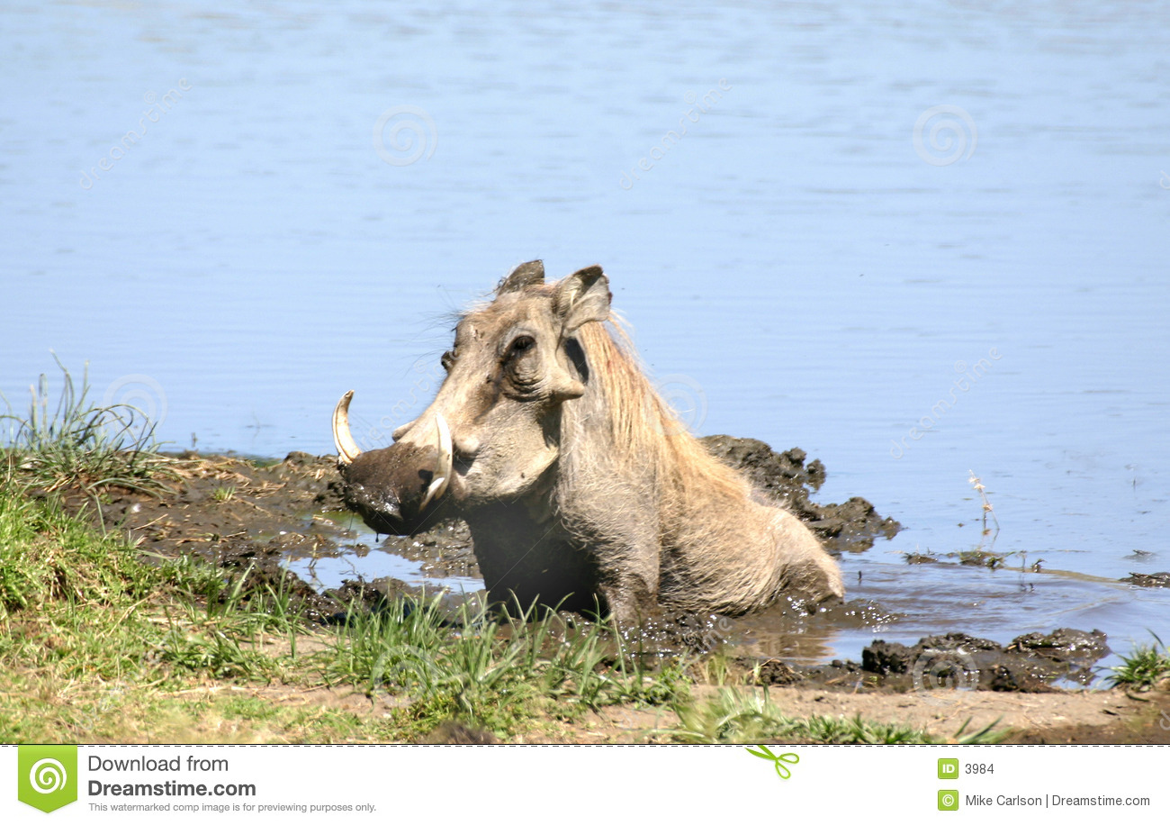 Warthog que Wallowing
