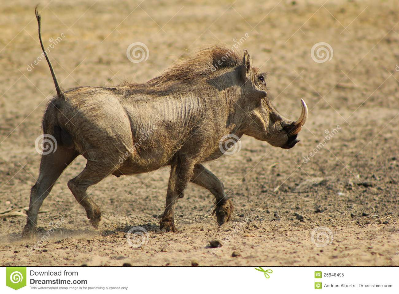wild hog map with Royalty Free Stock Photo Warthog Running Hog Image26848495 on BrownCreeperWinterMap moreover Royalty Free Stock Photo Warthog Running Hog Image26848495 further Stock Photos Porcupine Image2894713 additionally Hedgehogs moreover File Canis lupus dingo  Fraser Island.