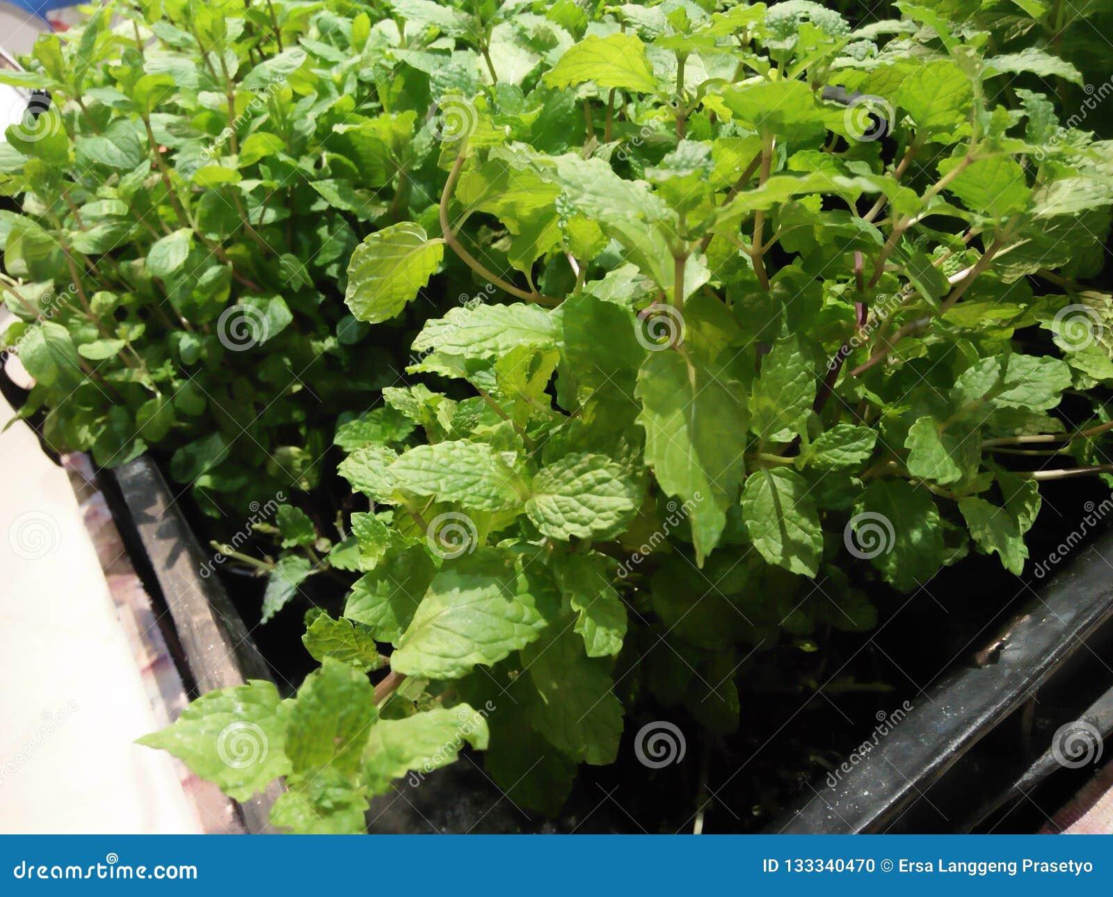 Warzywo rośliny które zazwyczaj używają dla kulinarnej polewki