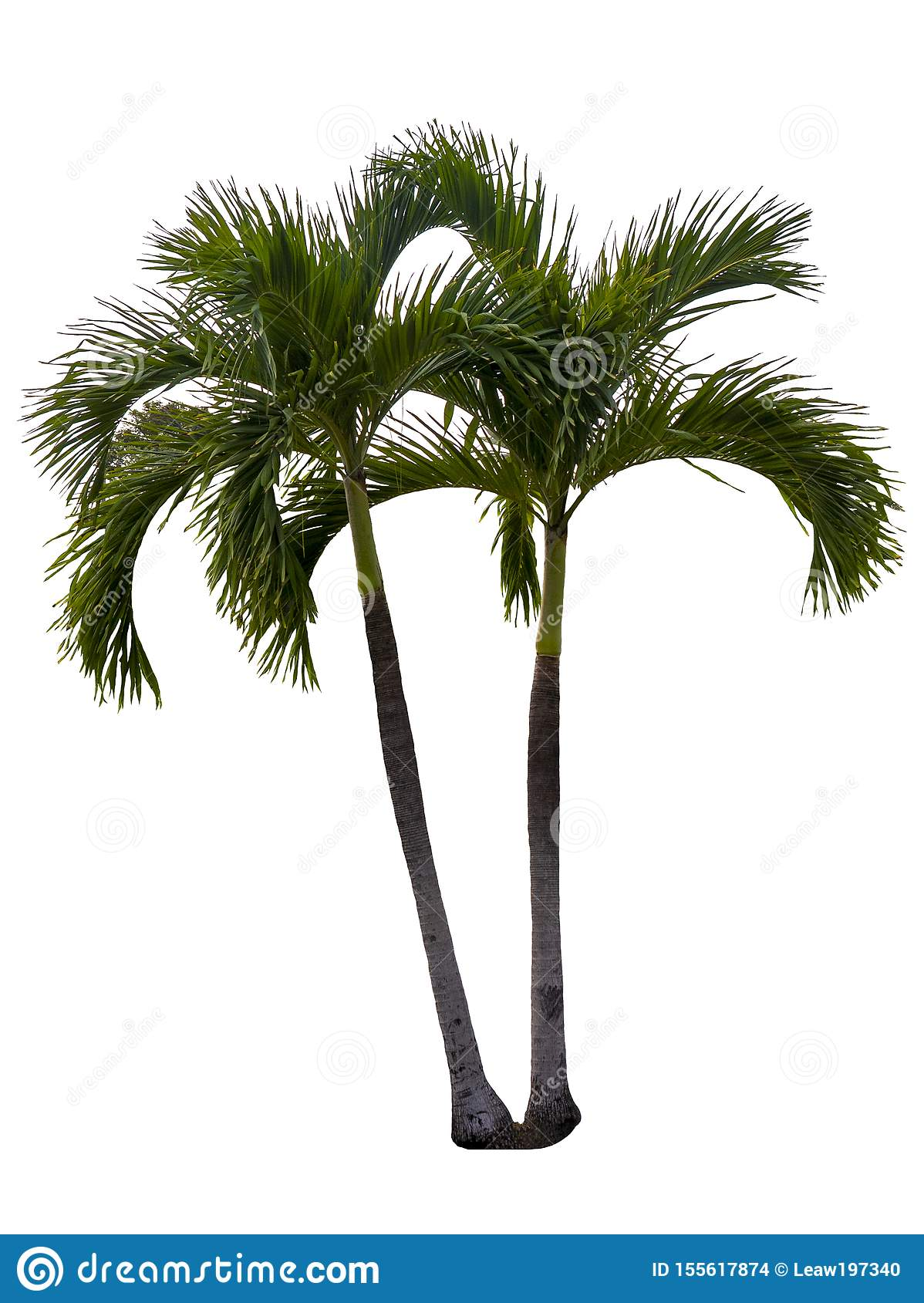 Washington Palm Tree a isol? sur le fond blanc avec une haute r?solution appropri?e au graphique