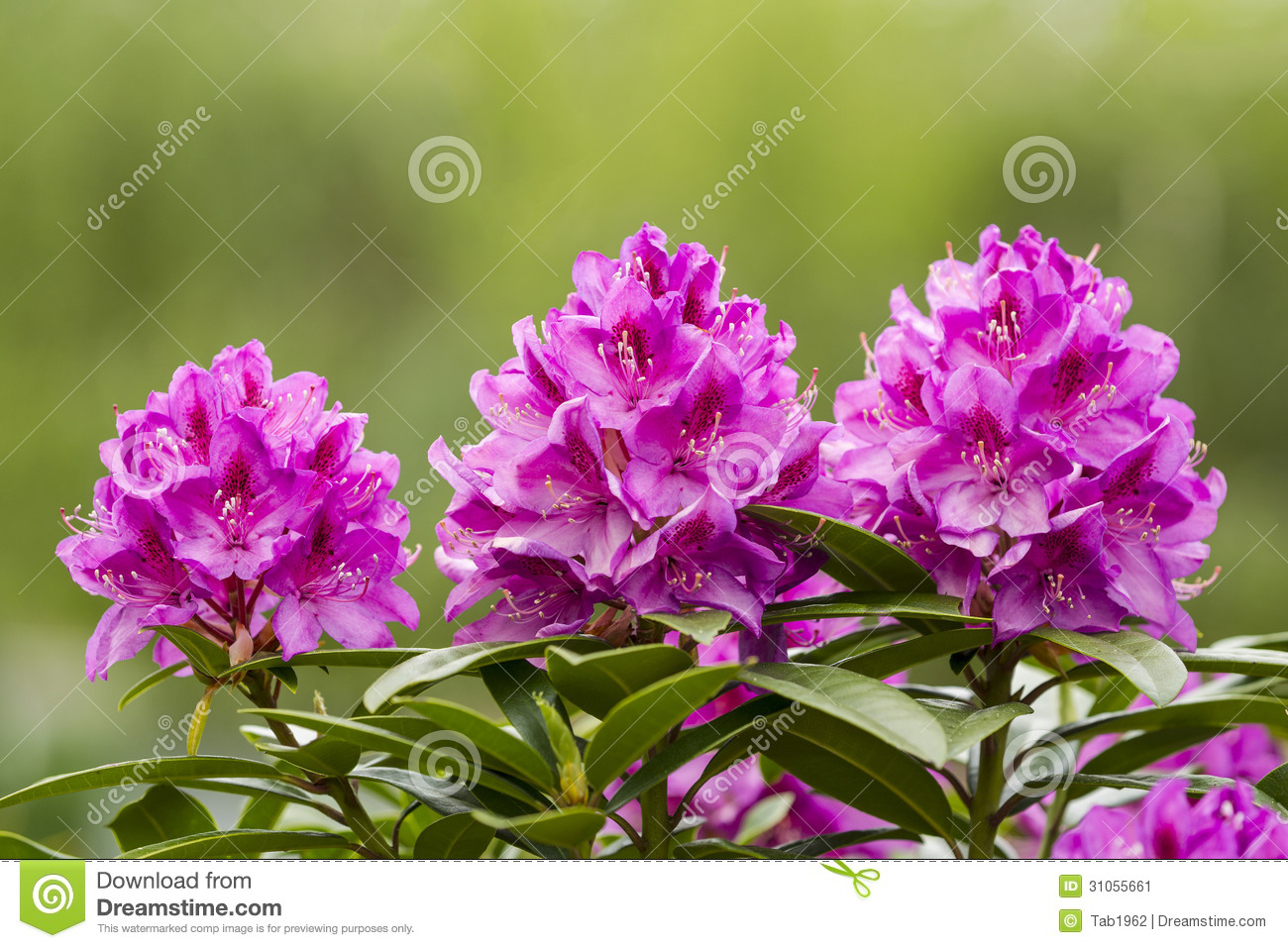 Washington State Coast Rhododendron Flower In Full Bloom Stock Image Image