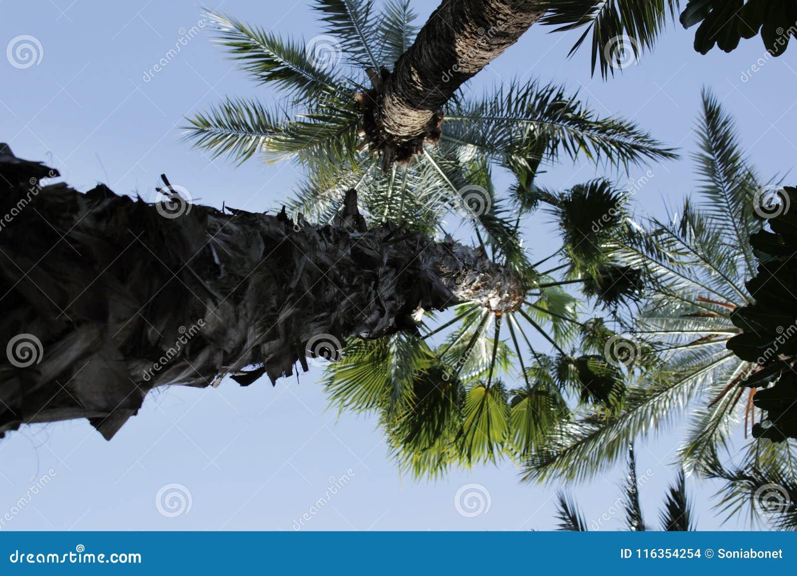 Washingtonia bonito Filifera em Elche, Espanha