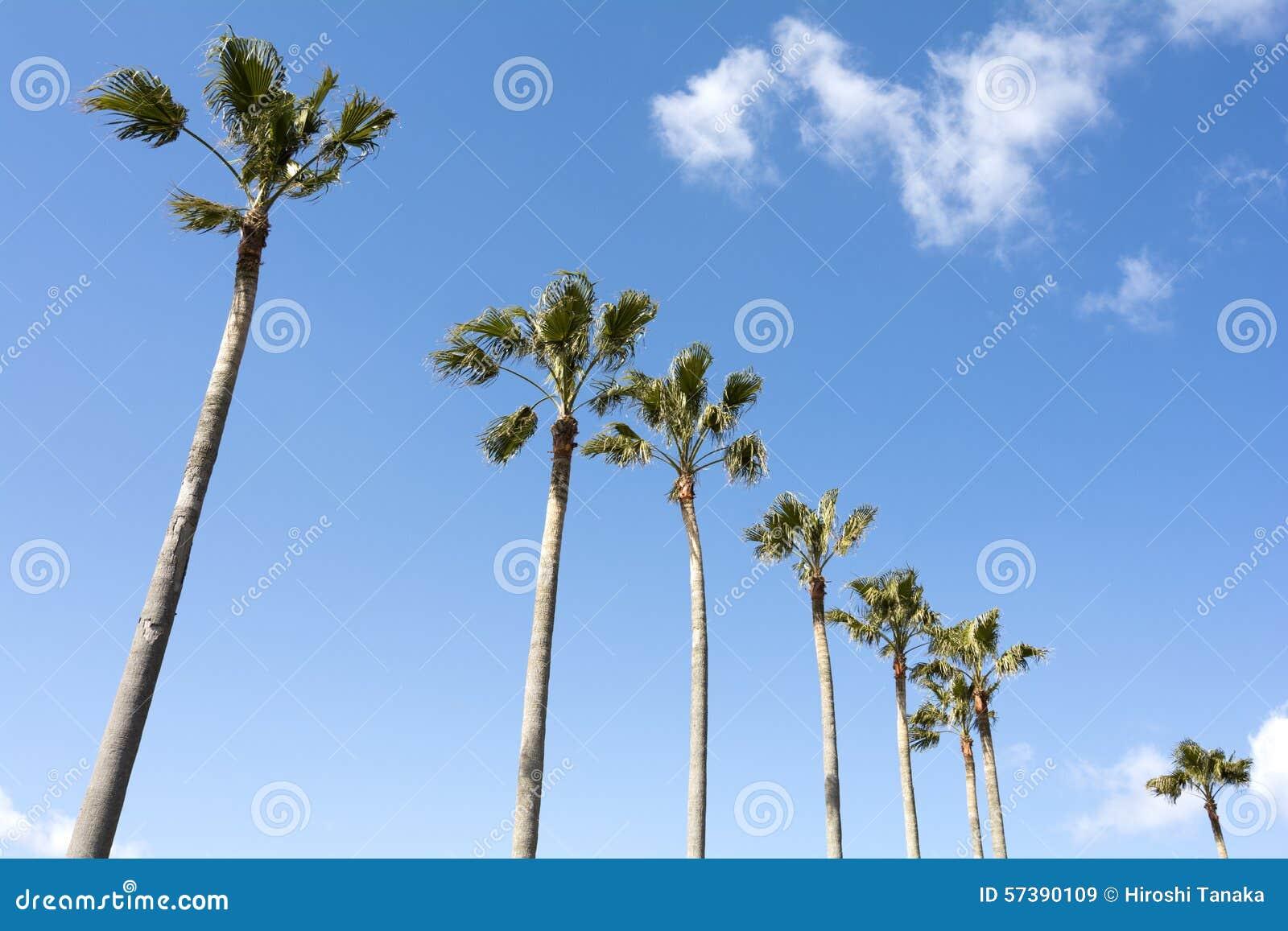Washingtonia robusta bomen