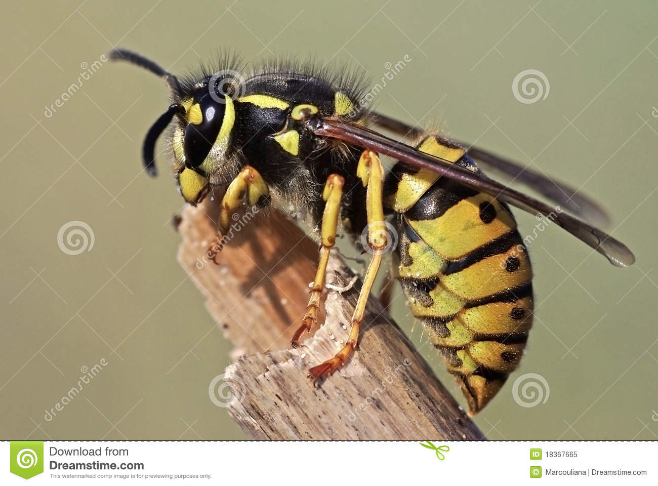 Download Wasp stock image. Image of germanica, paper, sting, buzz - 18367665