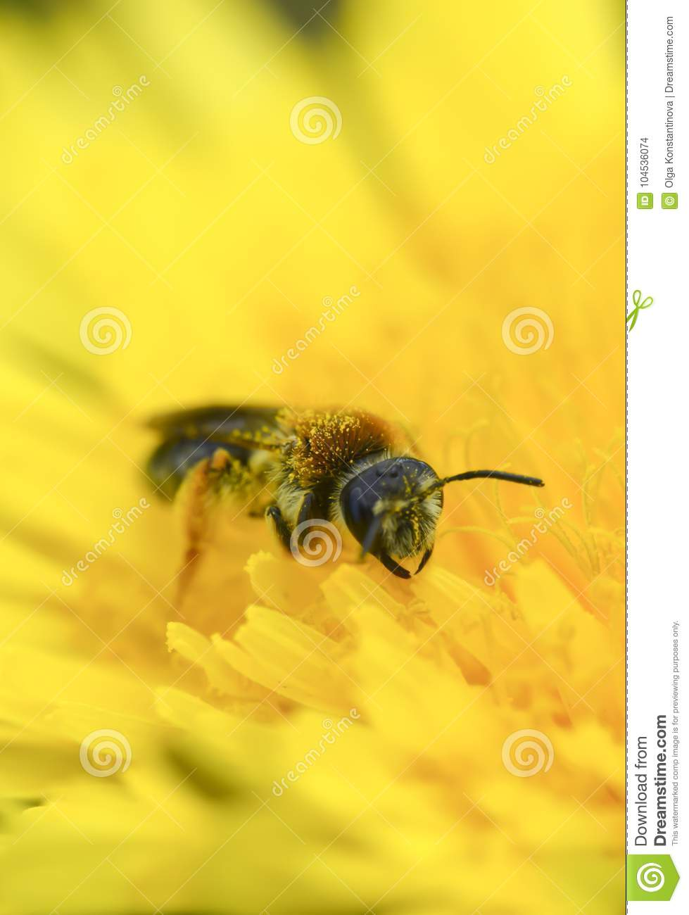 Wasp collect pollen on yellow dandelion macro photo vertical