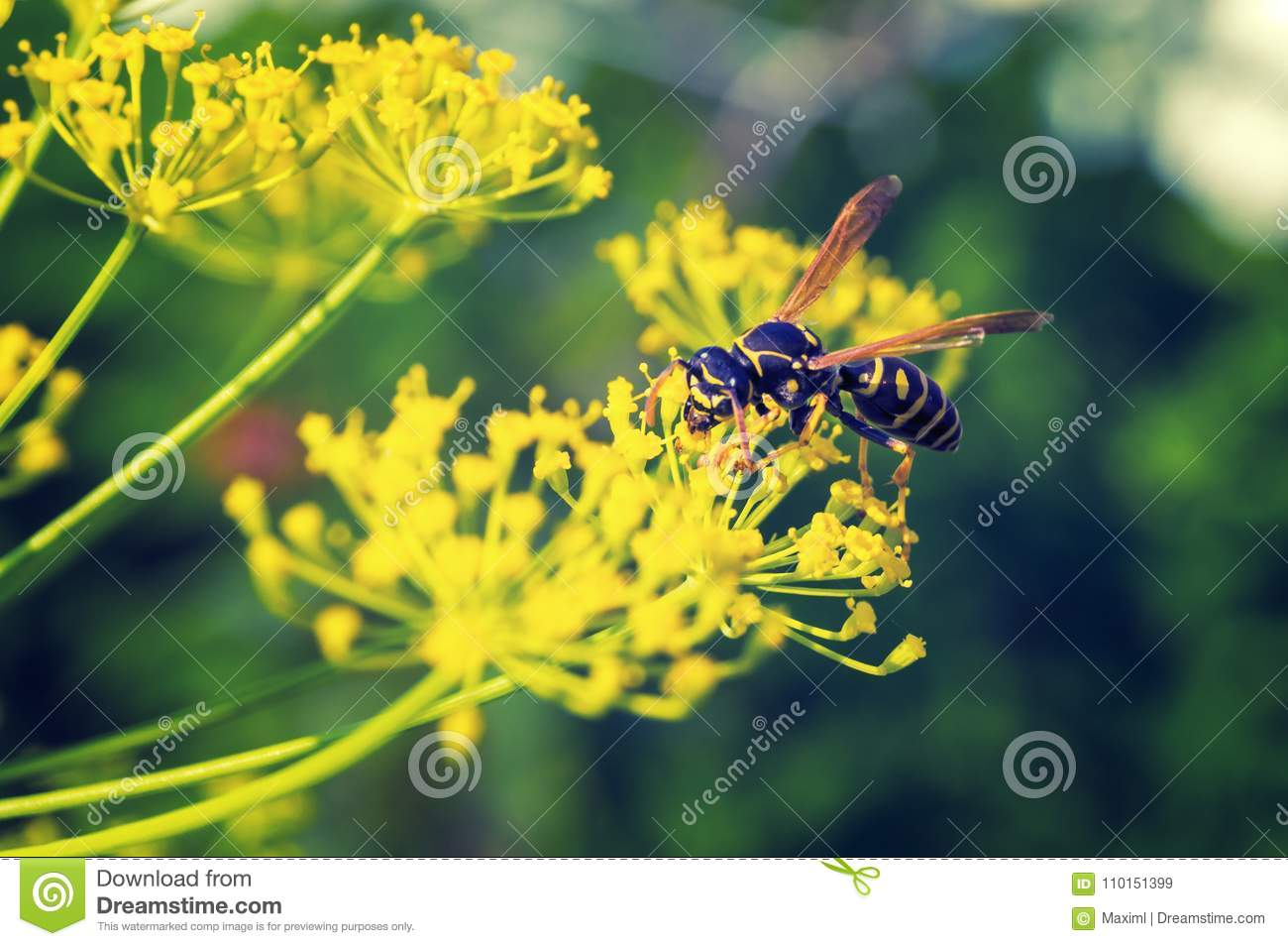Wasp collects nectar