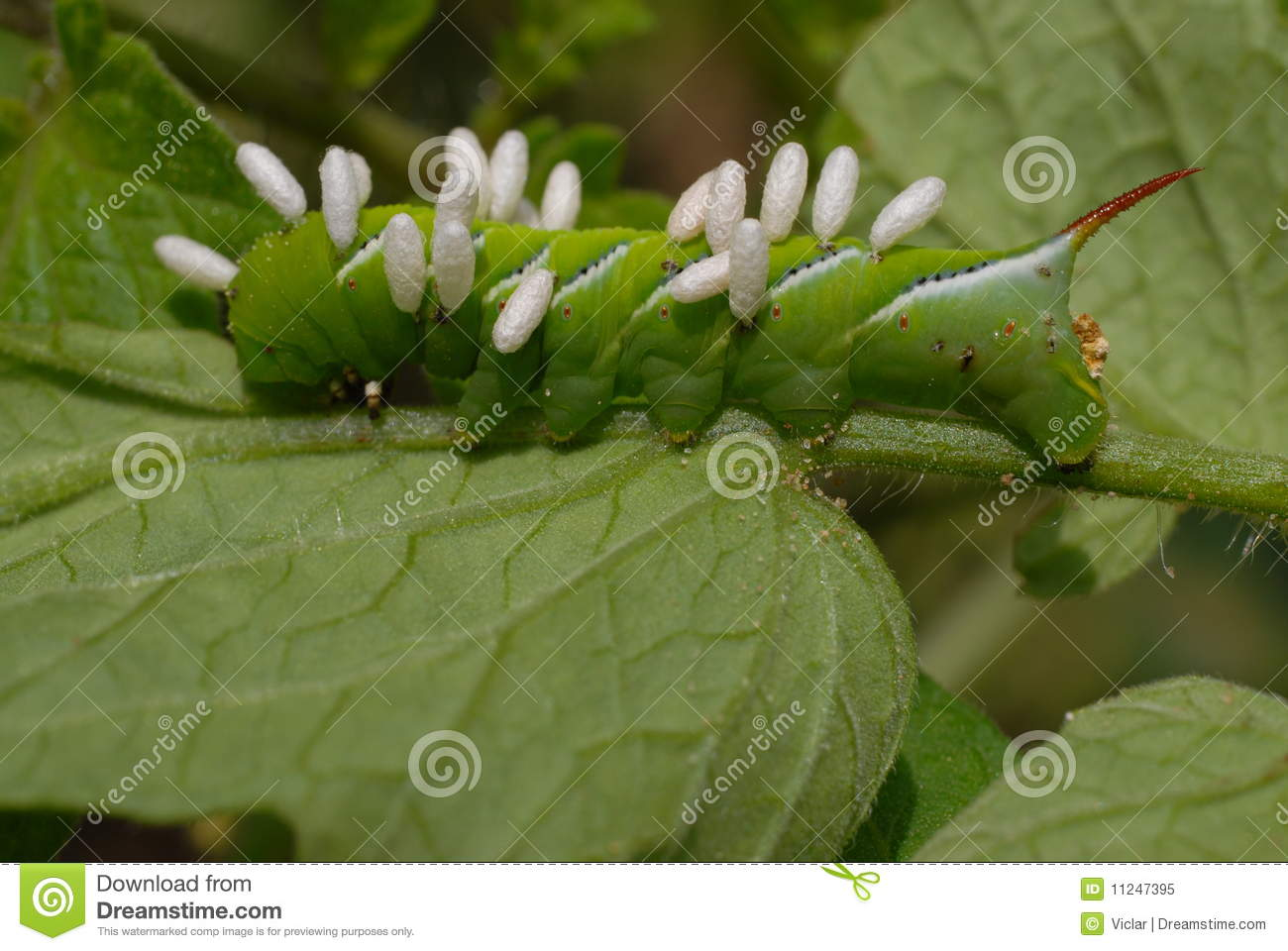 wasp eggs on caterpillar royalty free stock photo image
