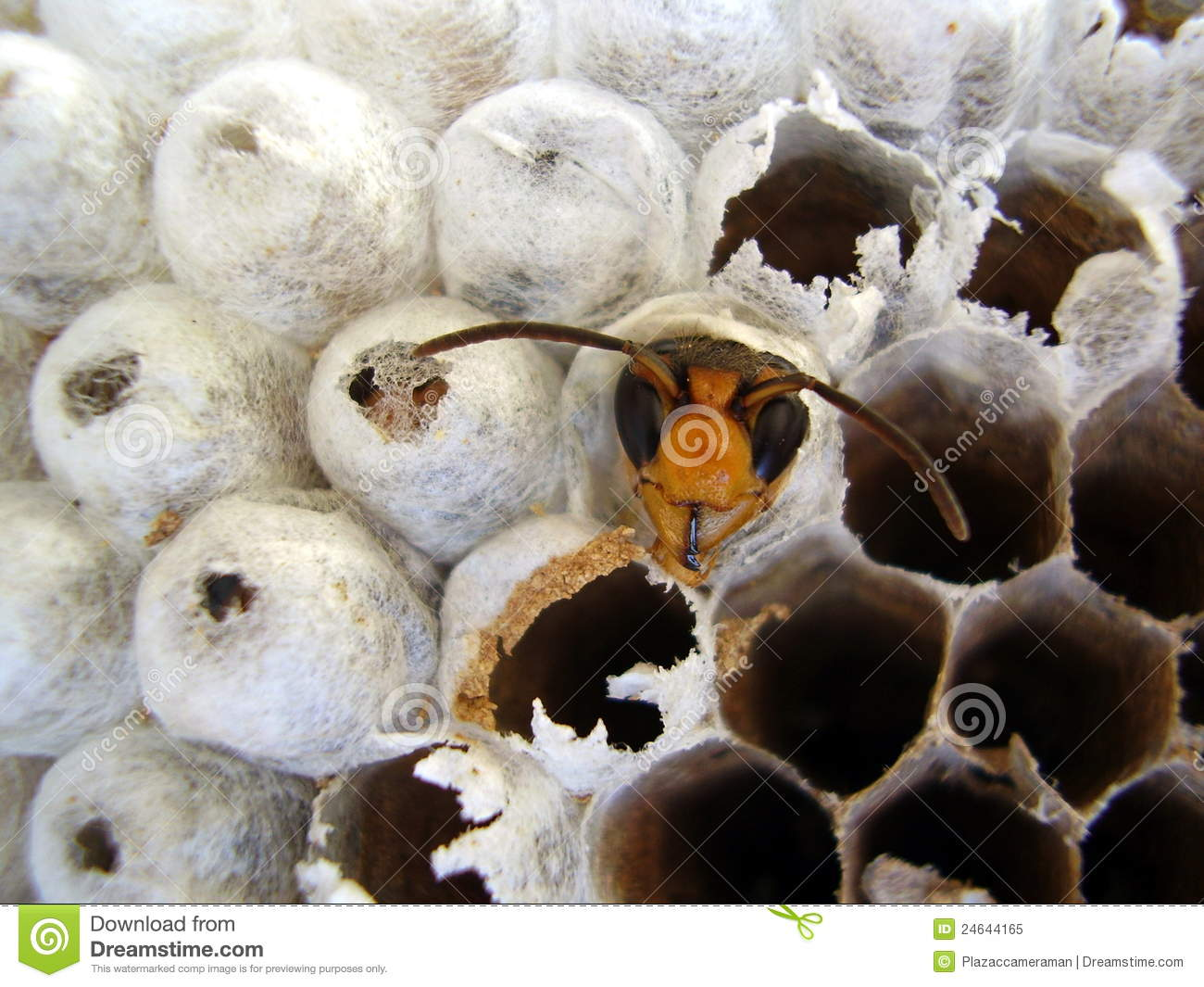 Wasp emerging from nest