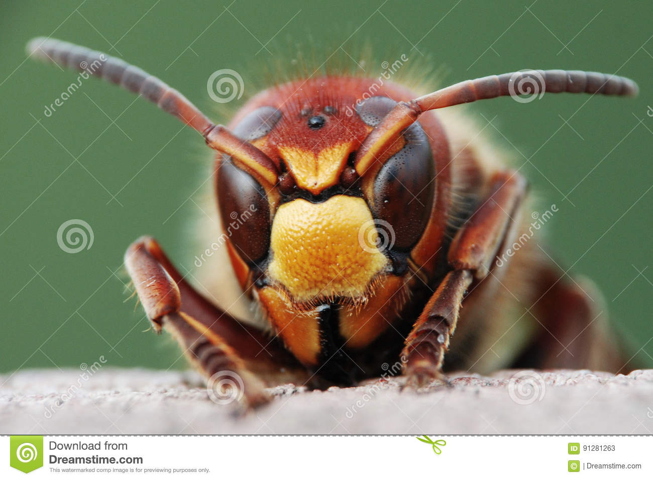 Download Wasp stock image. Image of wallpaper, hornet, insect - 91281263