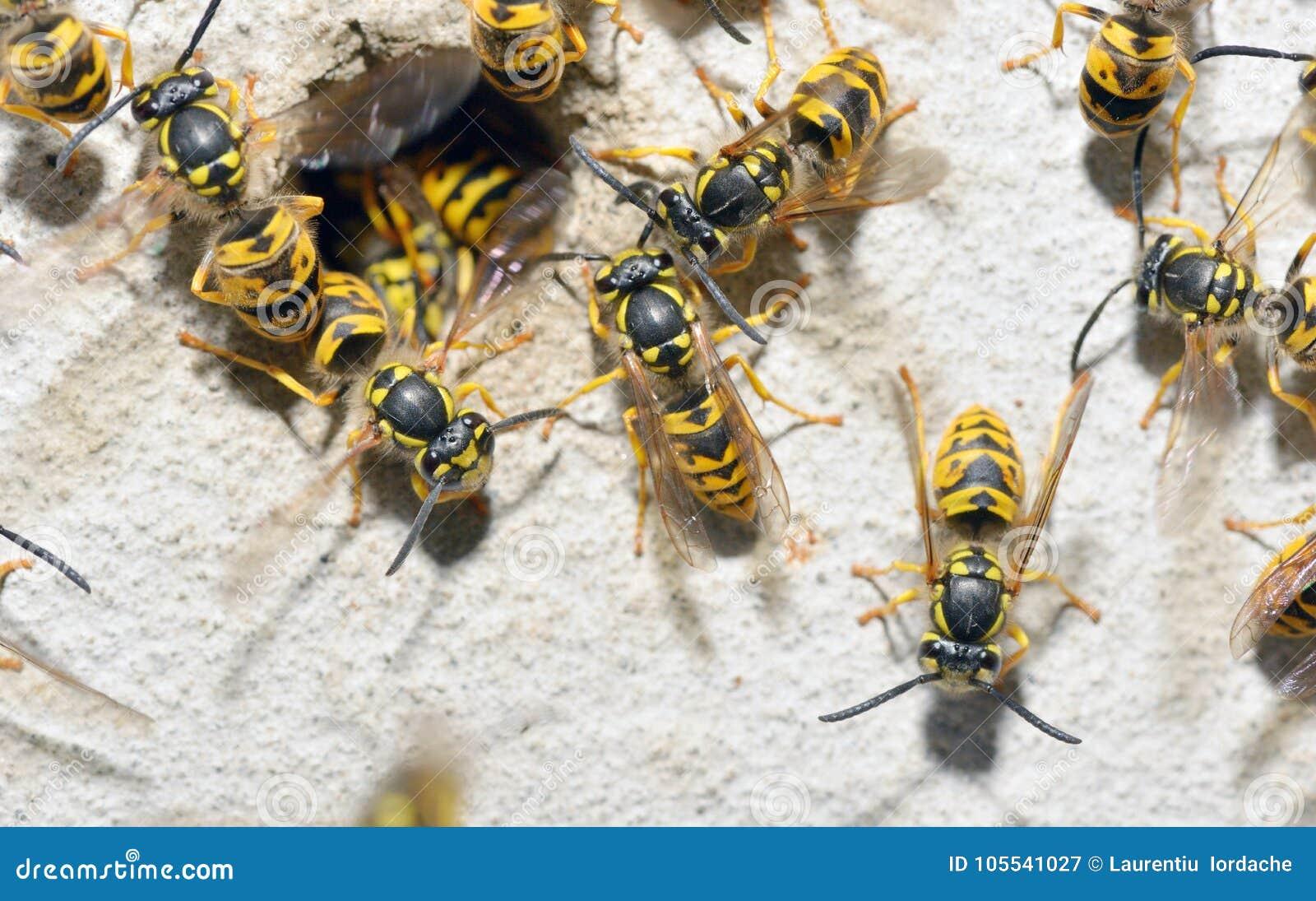Wasp Family and nest hole stock image. Image of macro - 105541027