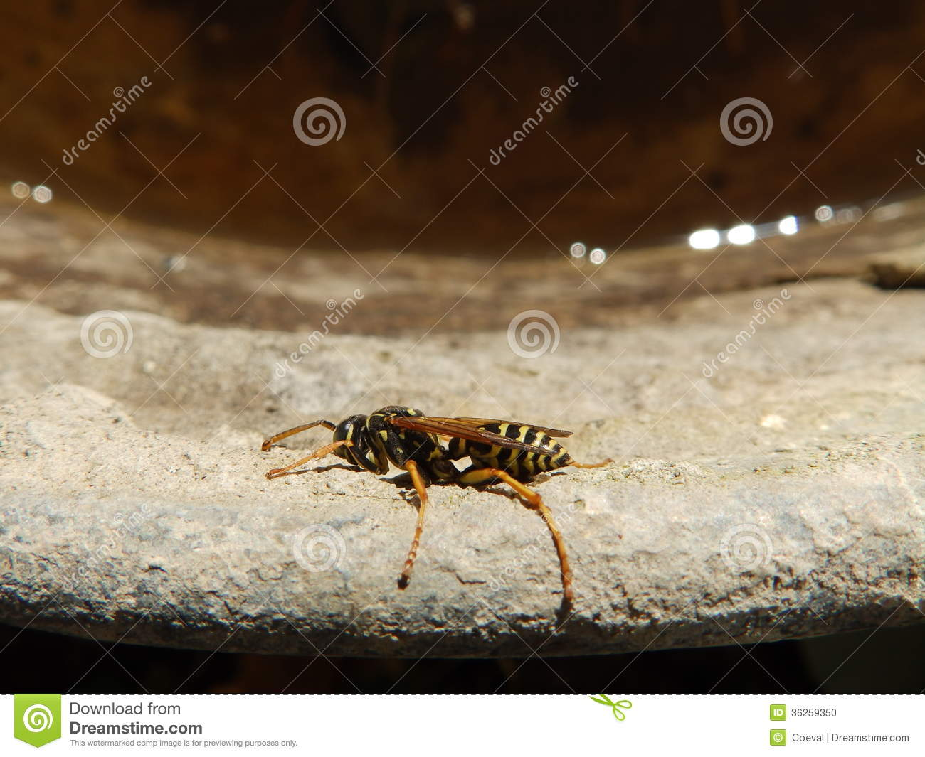 Wasp stock photo image 36259350 for Wing eyecare