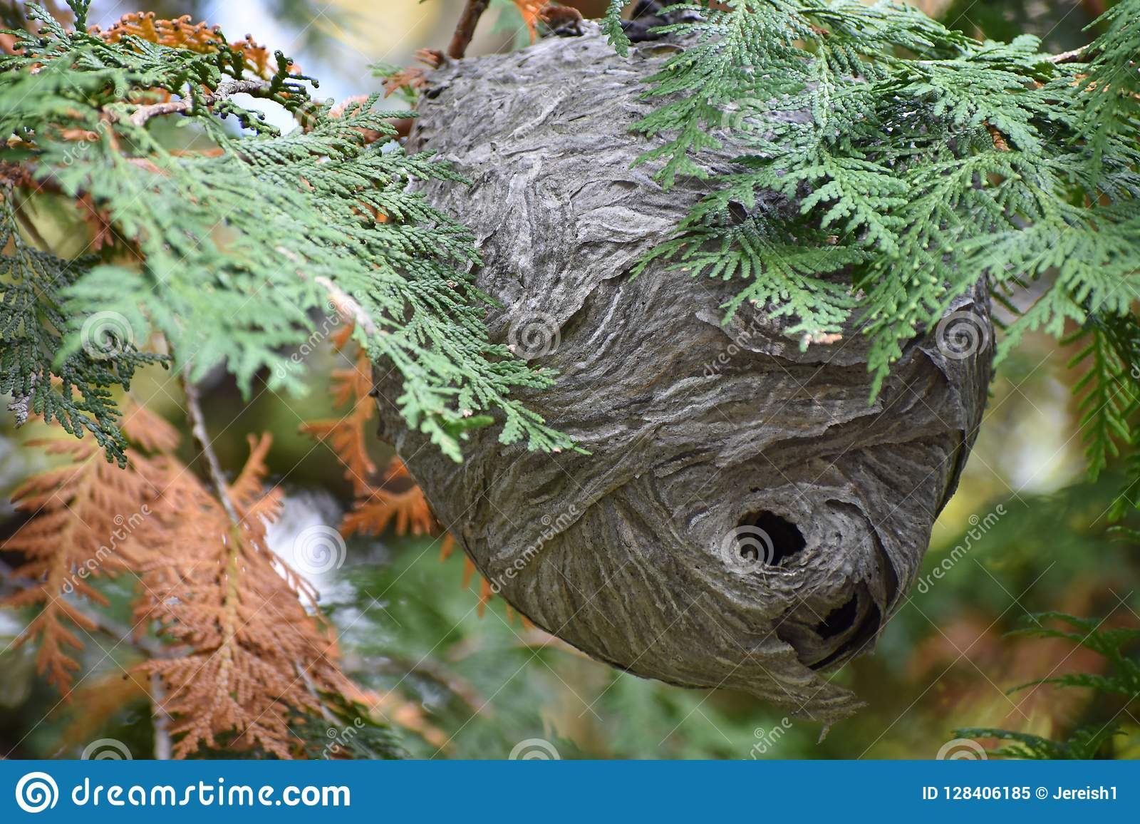 Wasp Nest Hanging on Tree Branch