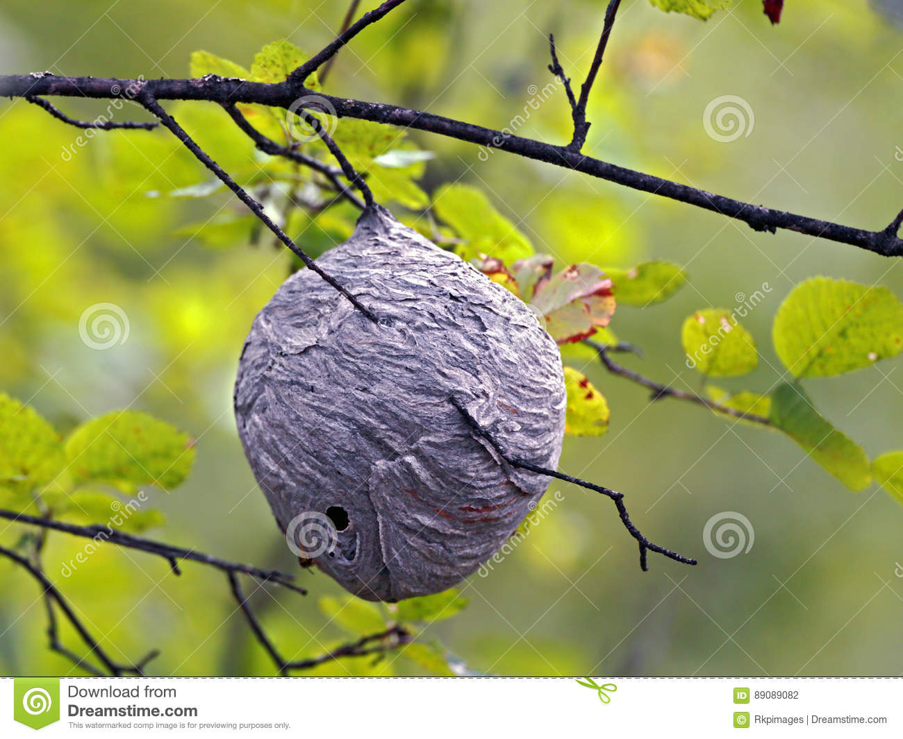 wasp nest in tree stock photo image of construction 89089082. Black Bedroom Furniture Sets. Home Design Ideas