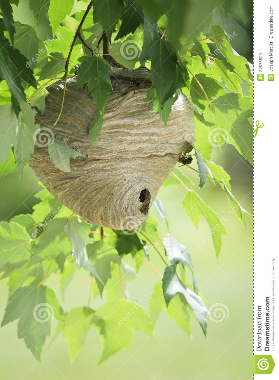 Wasp Nest In Tree Stock Photo - Image: 32576820