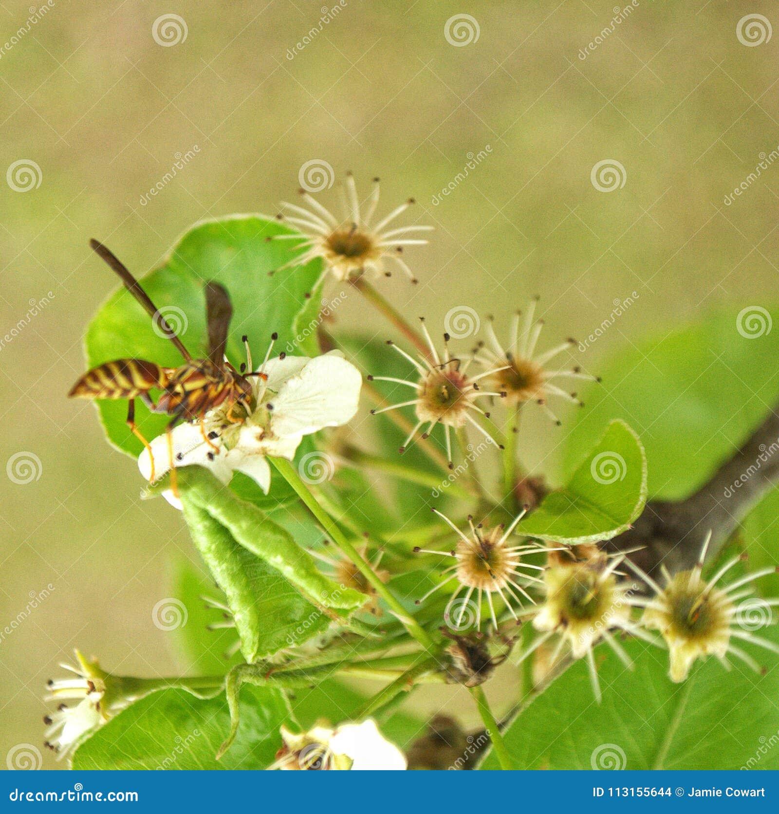 Wasp på Bradford Tree Blooms
