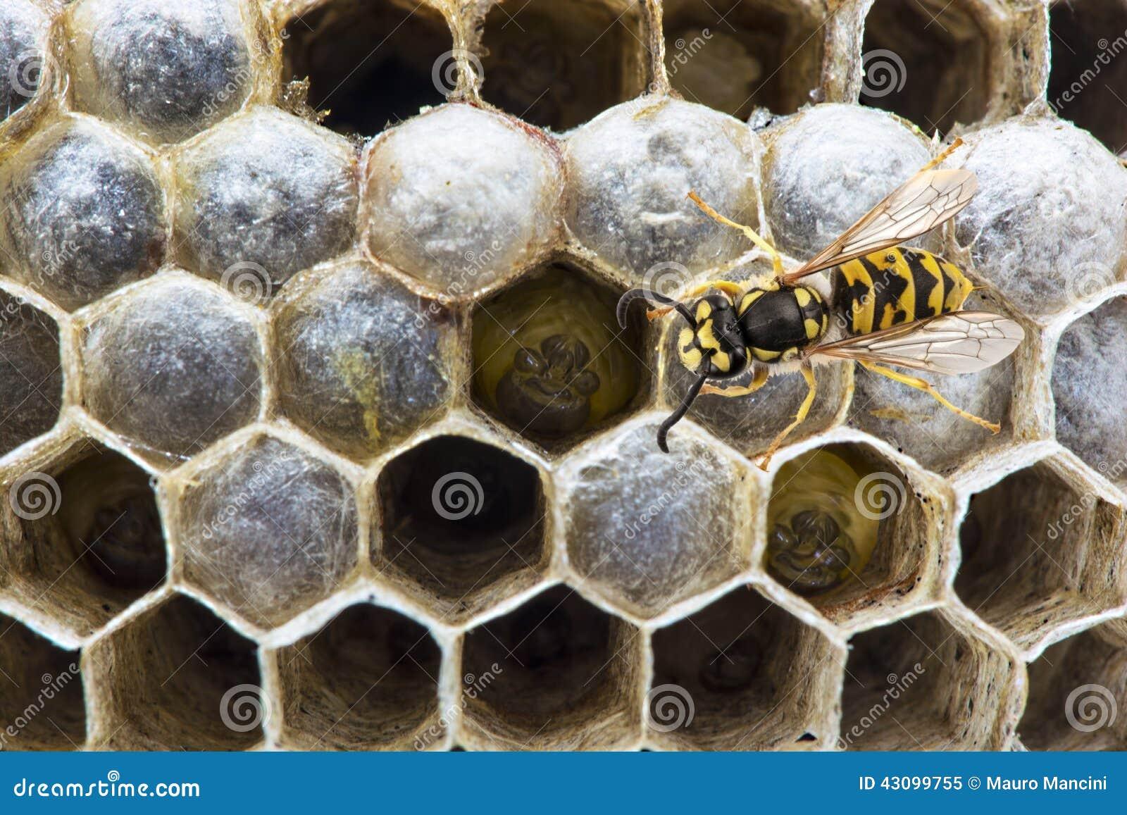 Wasp på redet