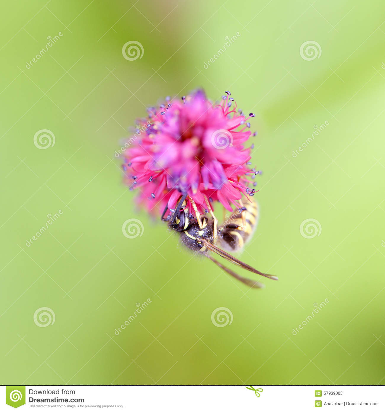 Black Flower Wasp From Australia: Wasp On Pink Flower Of Persicaria Stock Photo