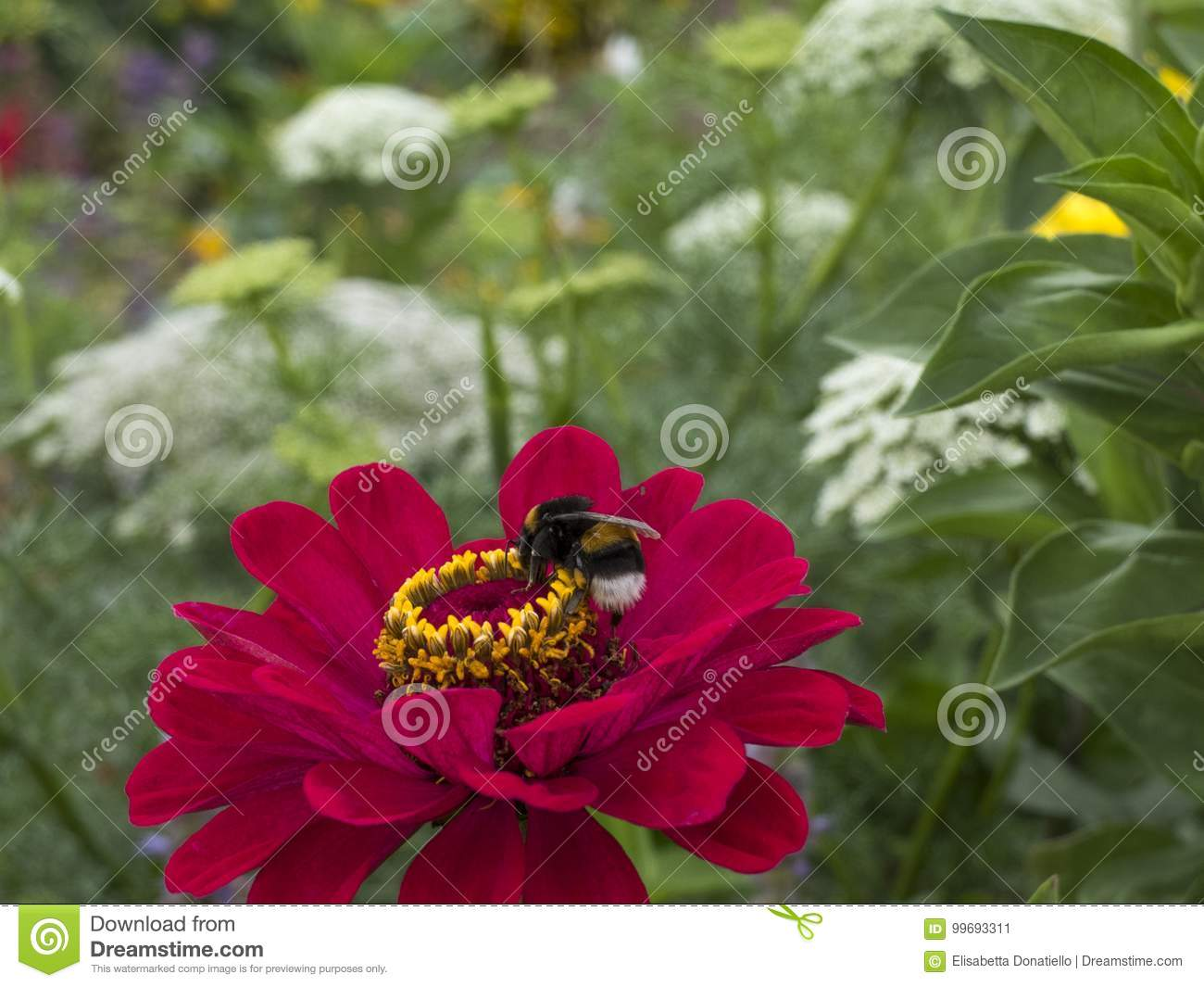 Wasp On Red Flower Dahlia Flower Garden Stock Image Image Of
