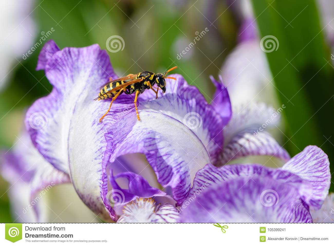 The Wasp Sits On An Iris Flower With Large White Petals With A Lilac