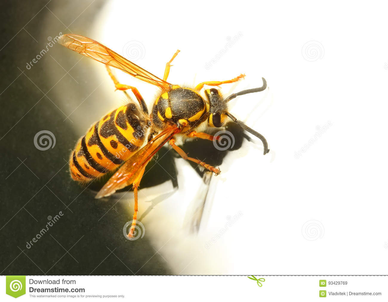 Download The Wasp. stock image. Image of blue, danger, insect - 93429769