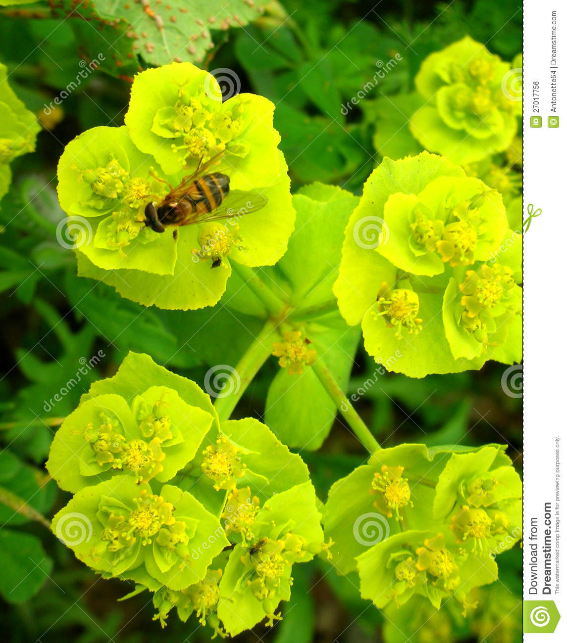 Wasp on yellowgreen flower stock photo image of yellowgreen 27017756 wasp on yellowgreen flower mightylinksfo