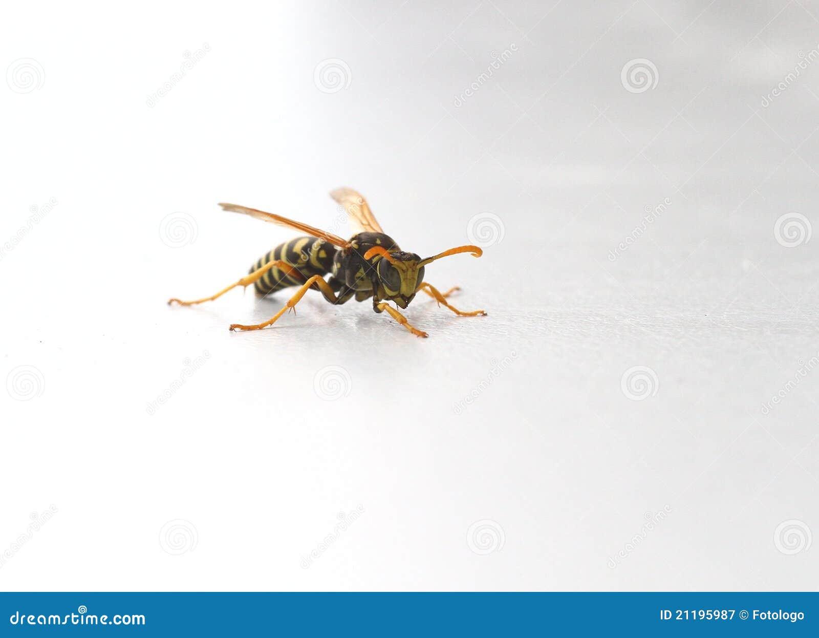 Wasp or Yellowjacket