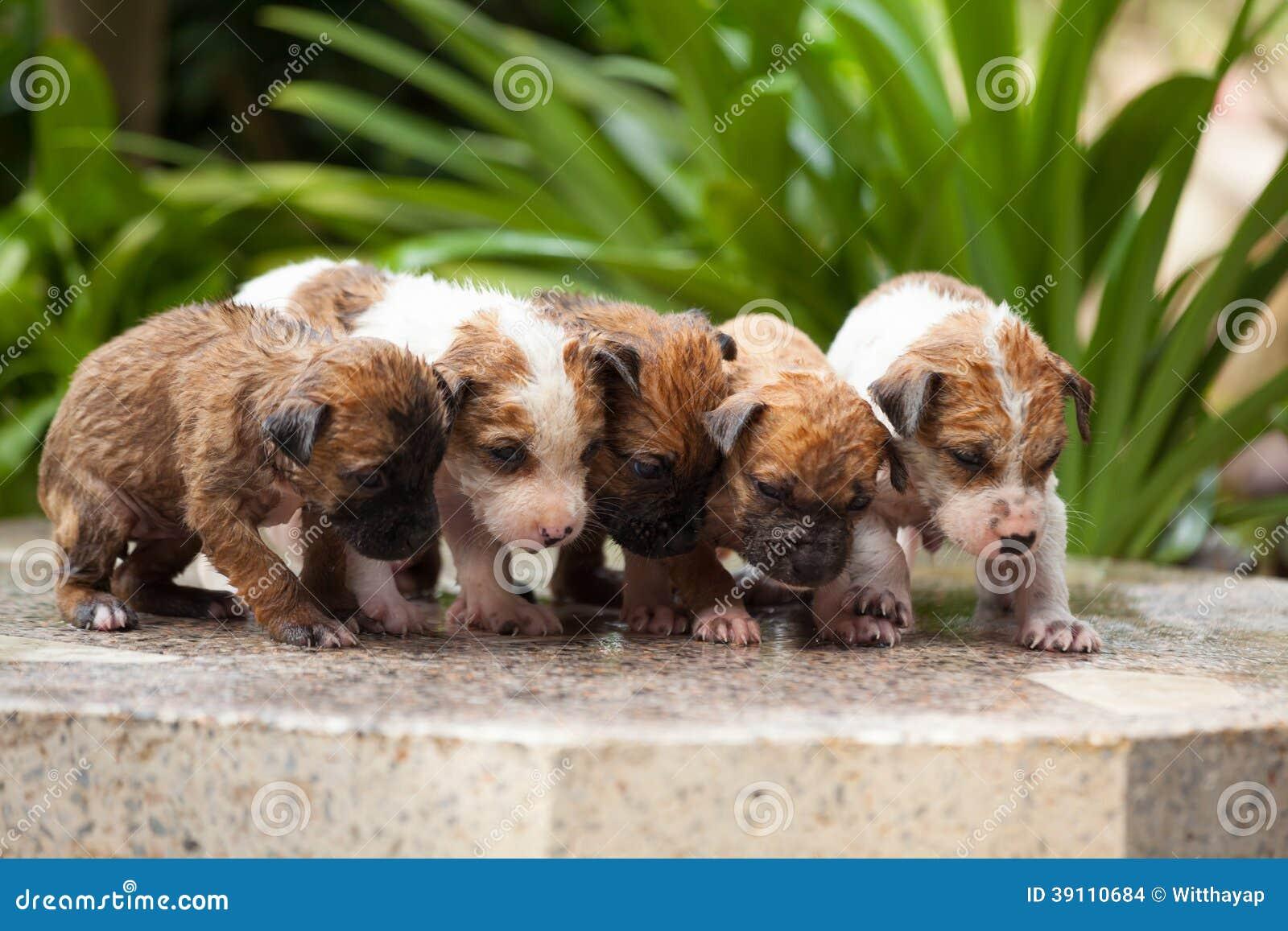 Wassende vijf puppyhond