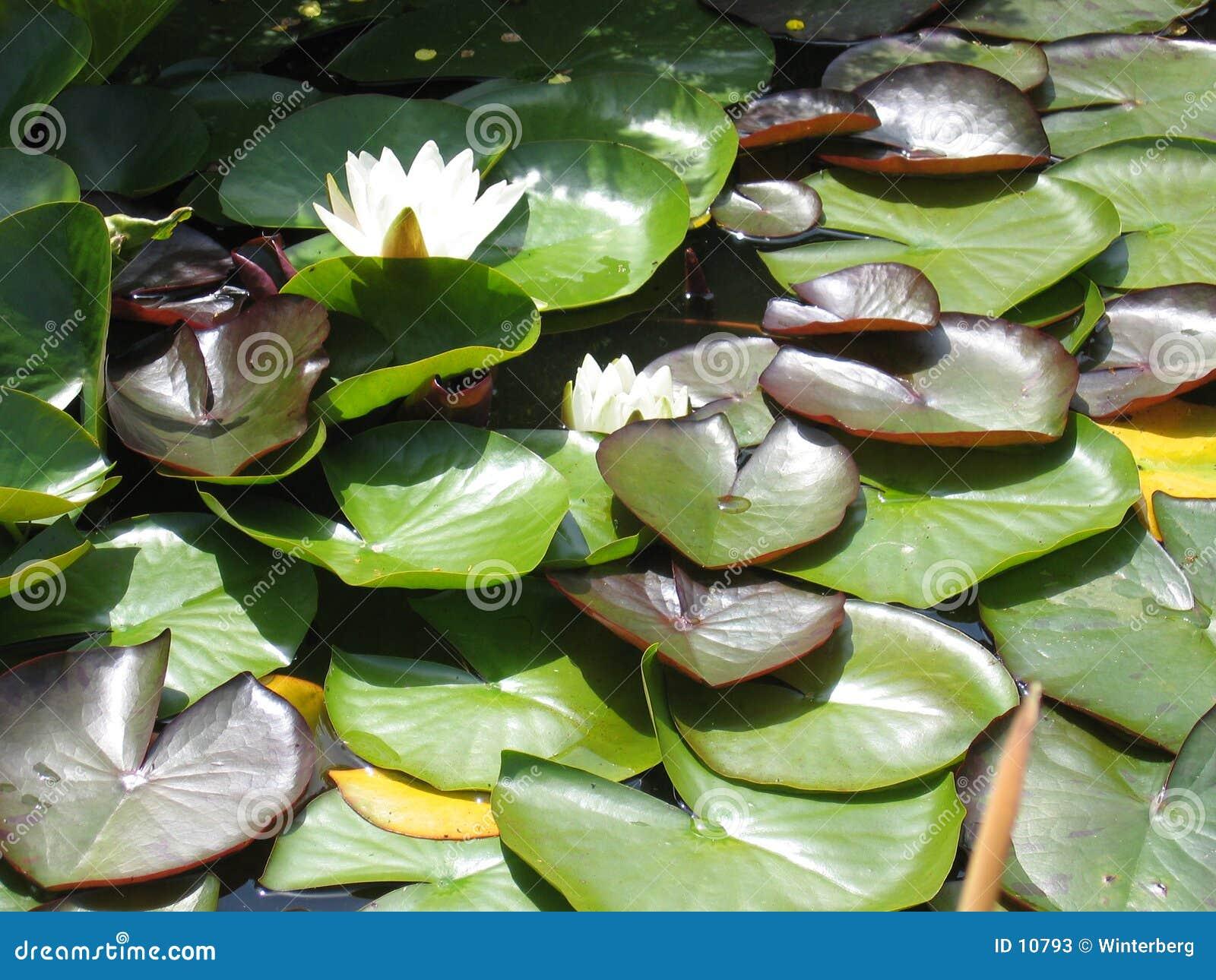Wasser-Lilie