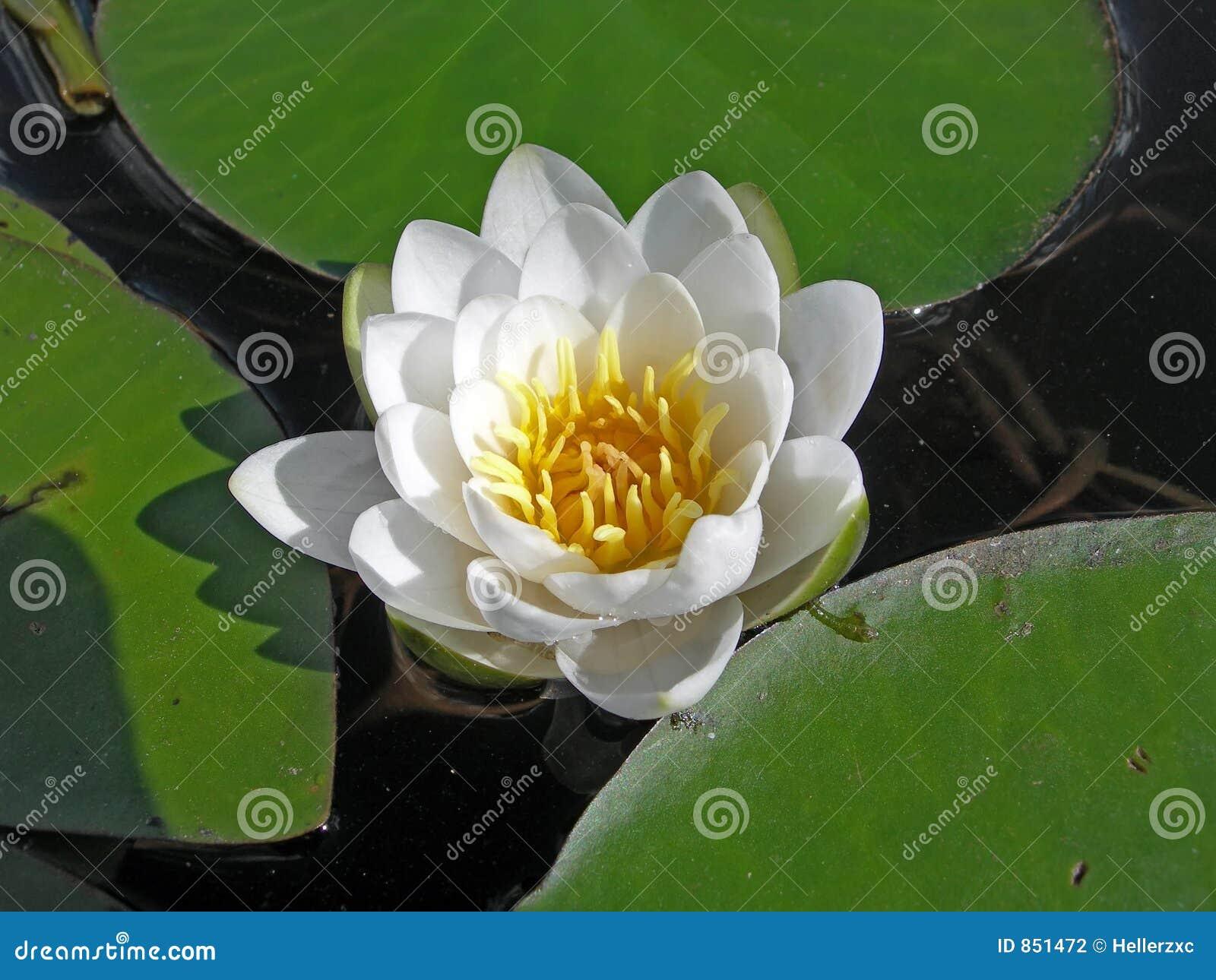 Wasser-Lilie.