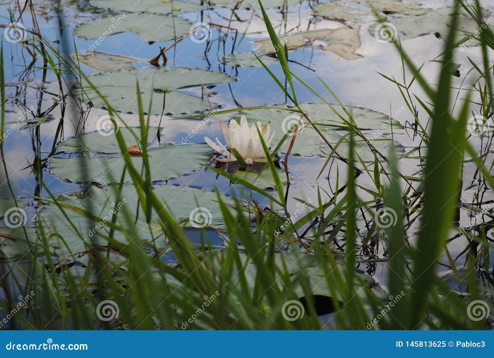Wasser Lilly auf dem Teich mit Wolken-Reflexion