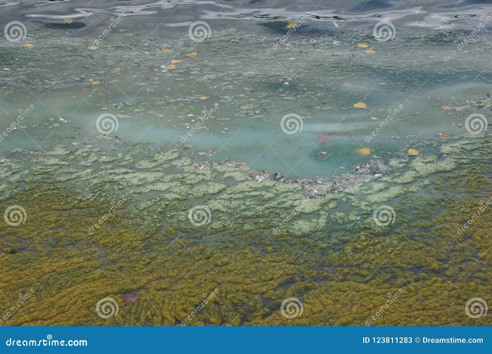 Blaue algen