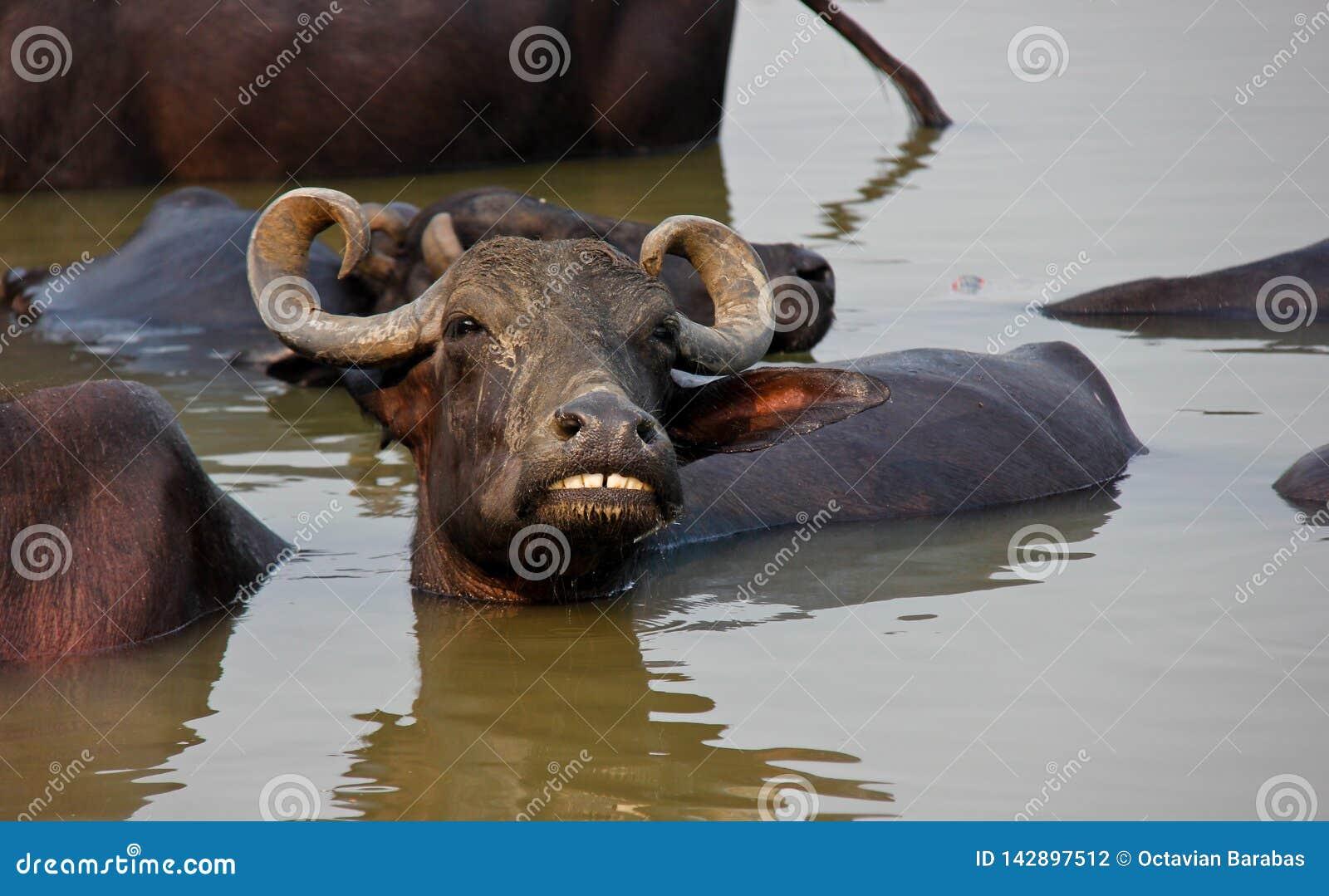 Wasserbüffel, der im Ganges/in Varanasi badet