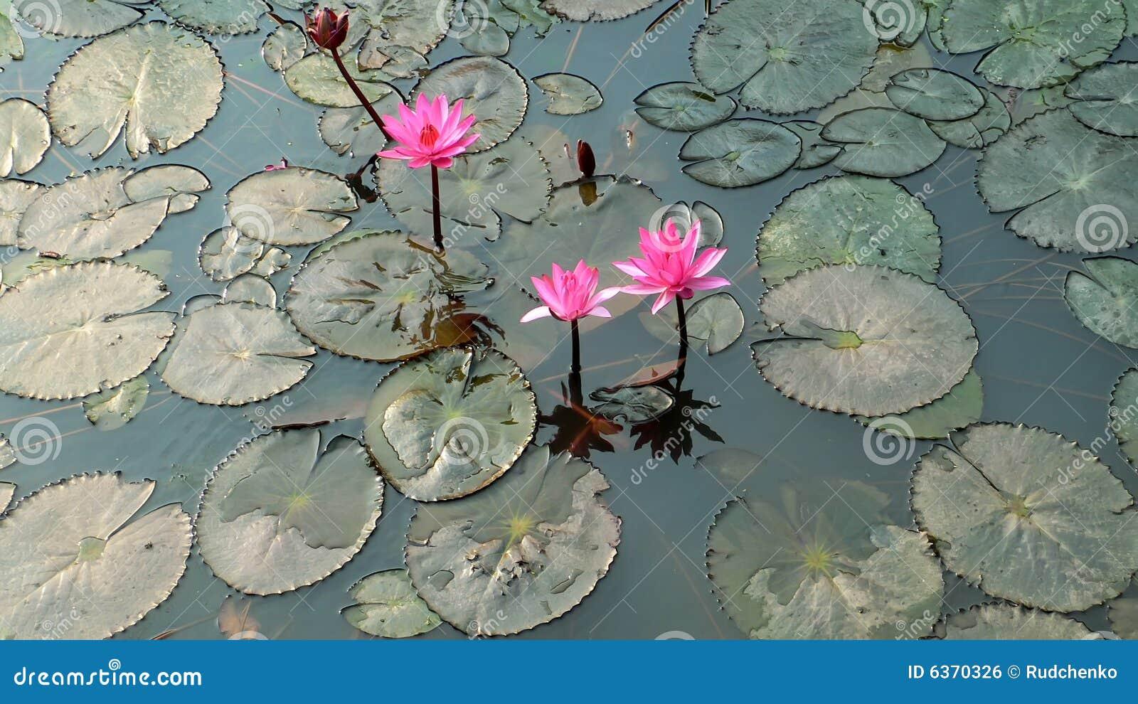 Wasserhintergrund mit Lilienblume