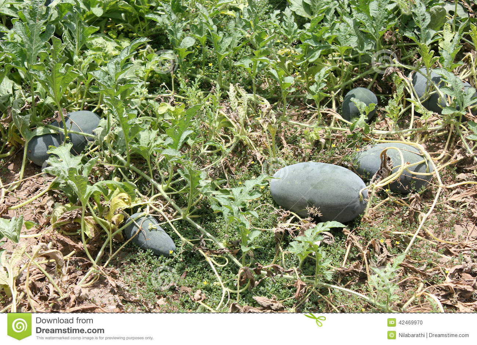 Wassermelonenfeld