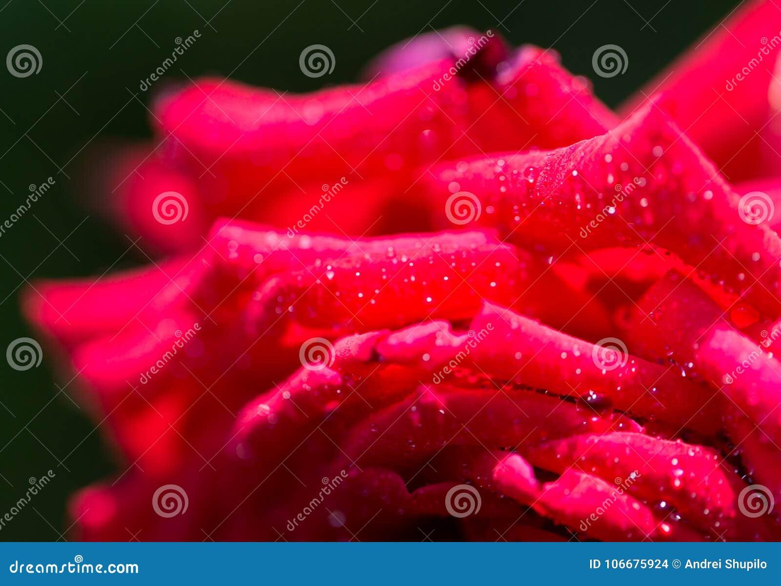 Wassertröpfchen auf einer roten Rose