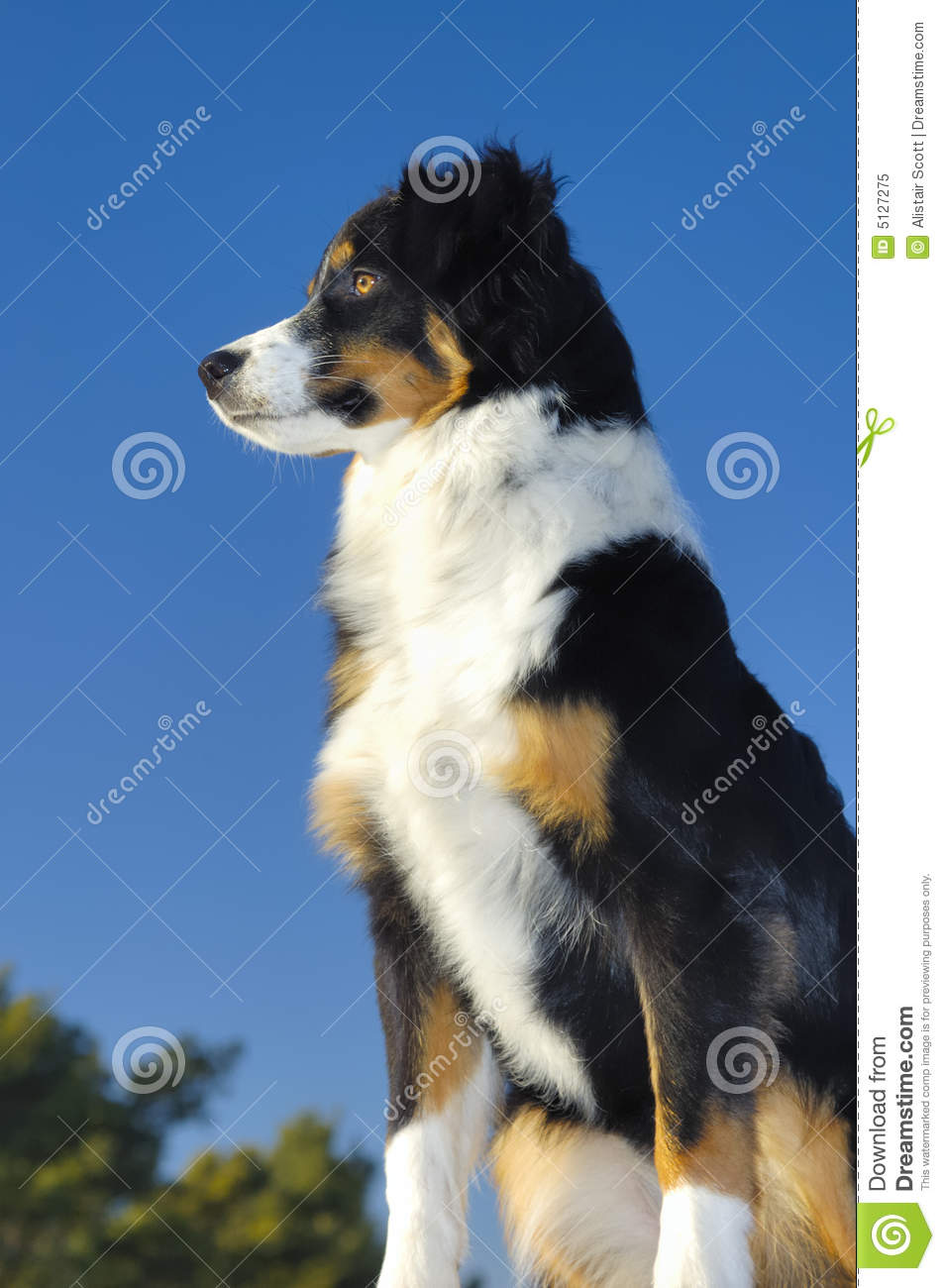 Watchful Dog Stock Image Image Of Collie Nose Border