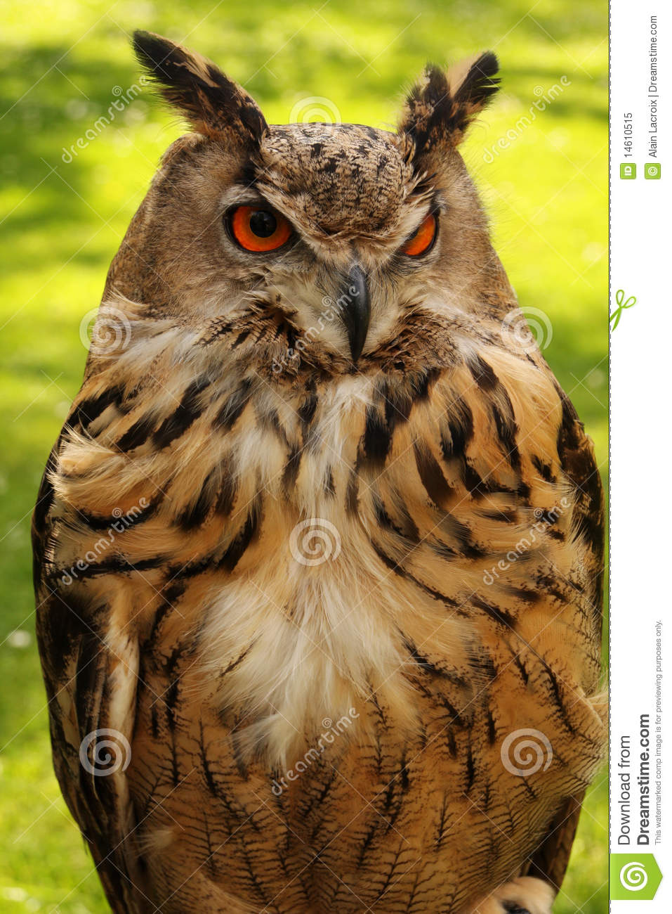 Watchful Owl Royalty Free Stock Photo Image 14610515