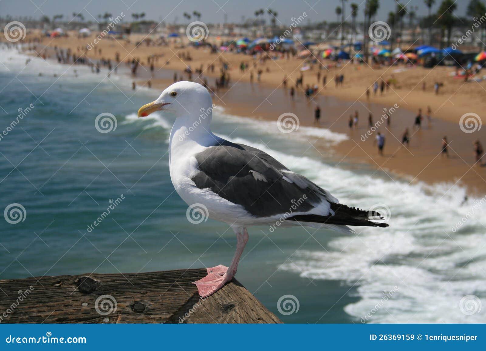 Watchin de la gaviota sobre la playa de Santa Mónica