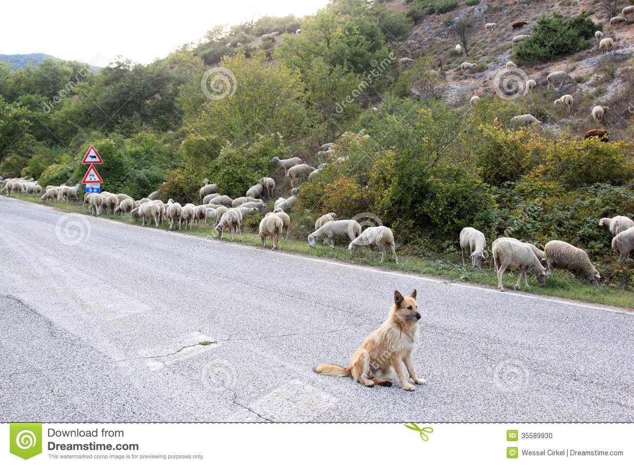 sheepdog is guarding a flock of sheep along a provincial road in the ...