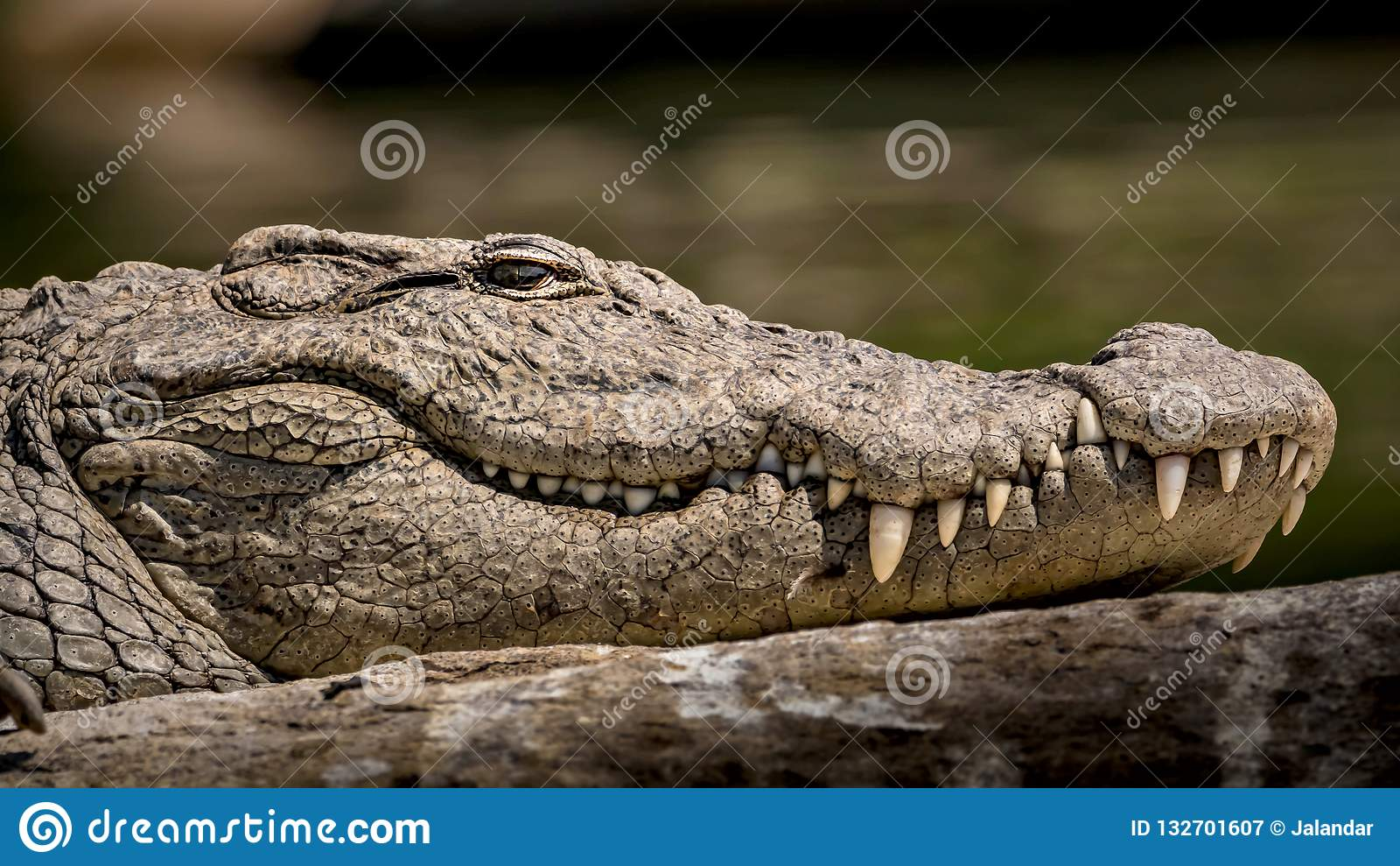 Wild Marsh Crocodile Close-up, with Eyes, Skin Texture and Teeth Patterns Visible