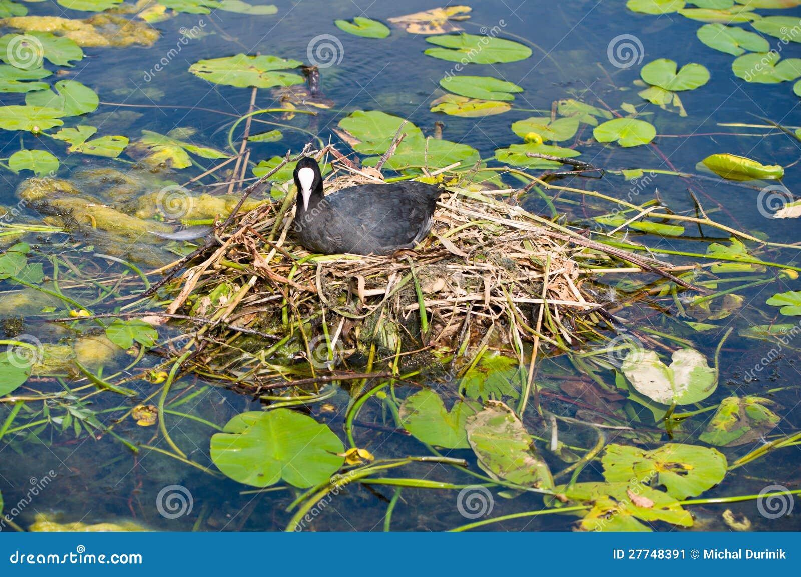 Water bird nesting stock image. Image of morning, natural ...