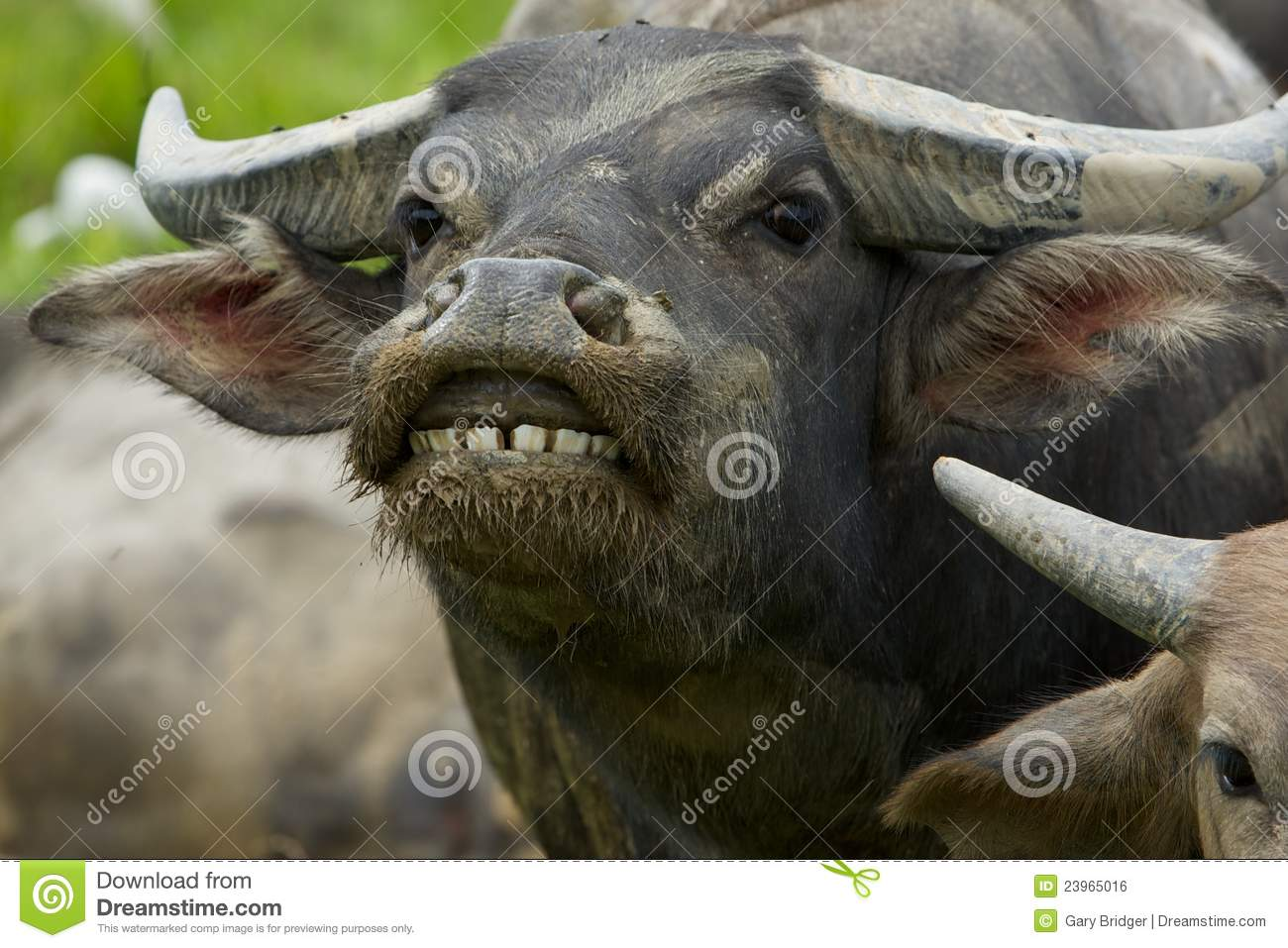 Water Buffalo Royalty Free Stock Image - Image: 23965016