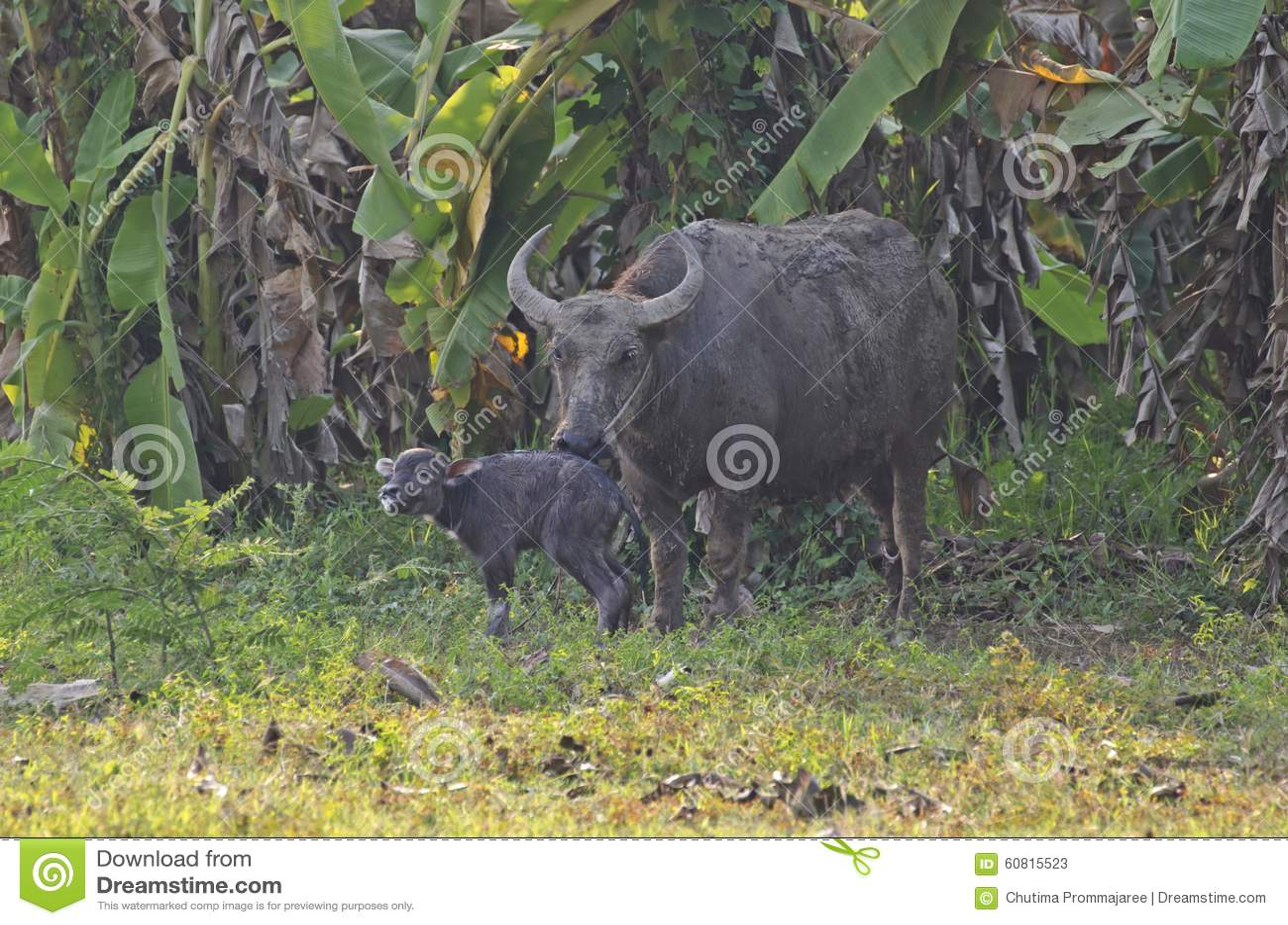 Water buffalo and baby stock image. Image of heat, baby ...